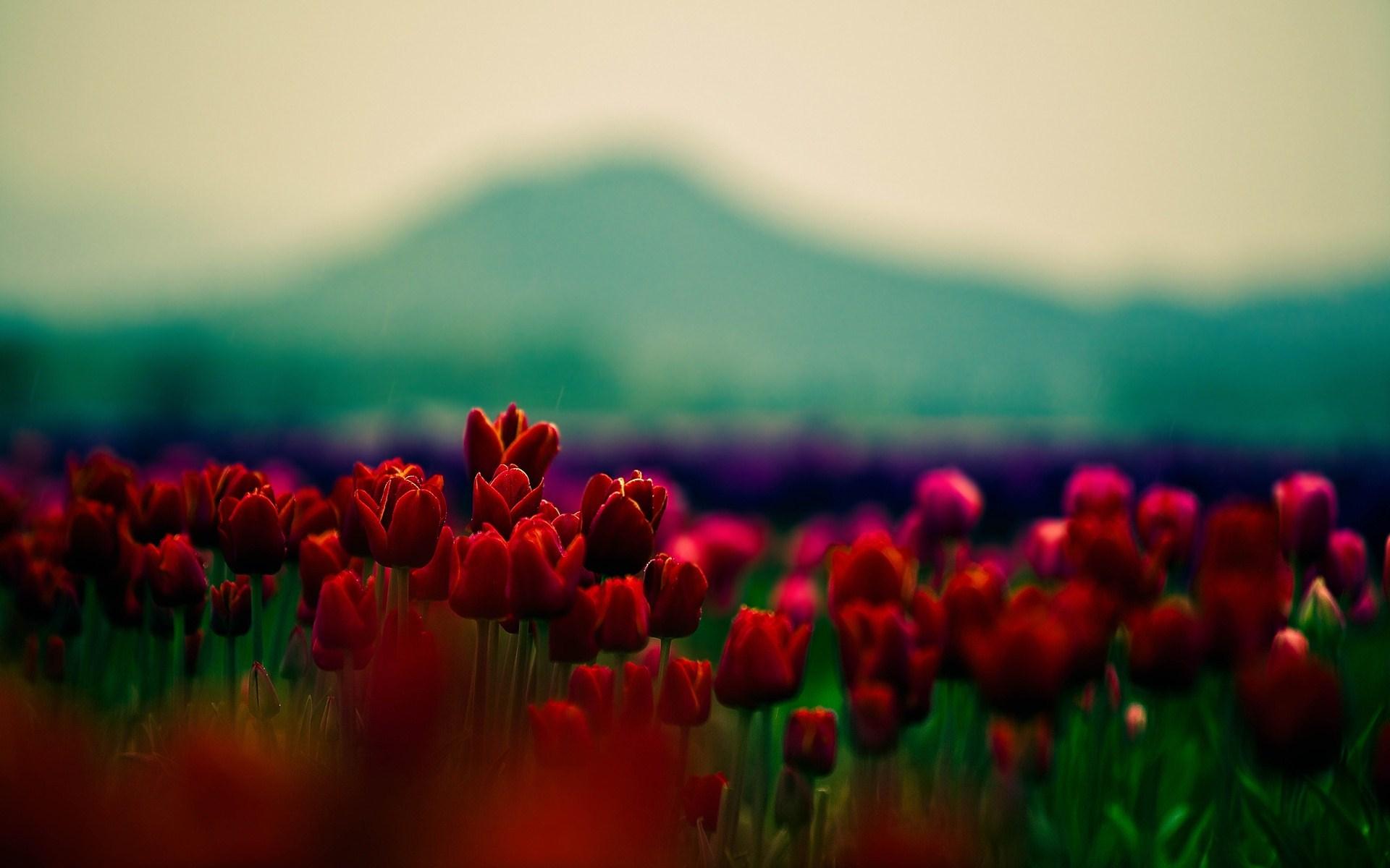 Red Tulips Nature Macro