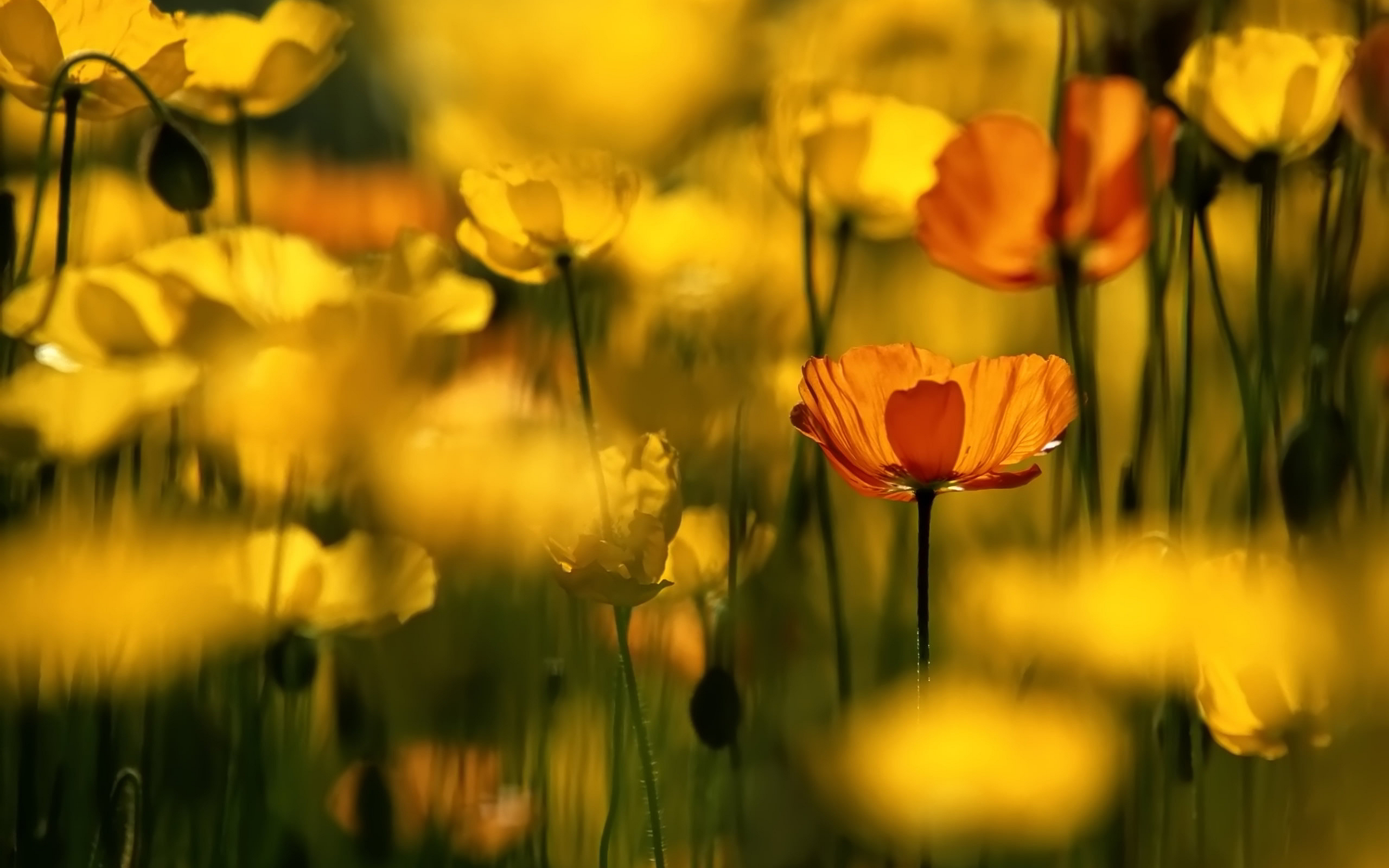 Red Yellow Poppies
