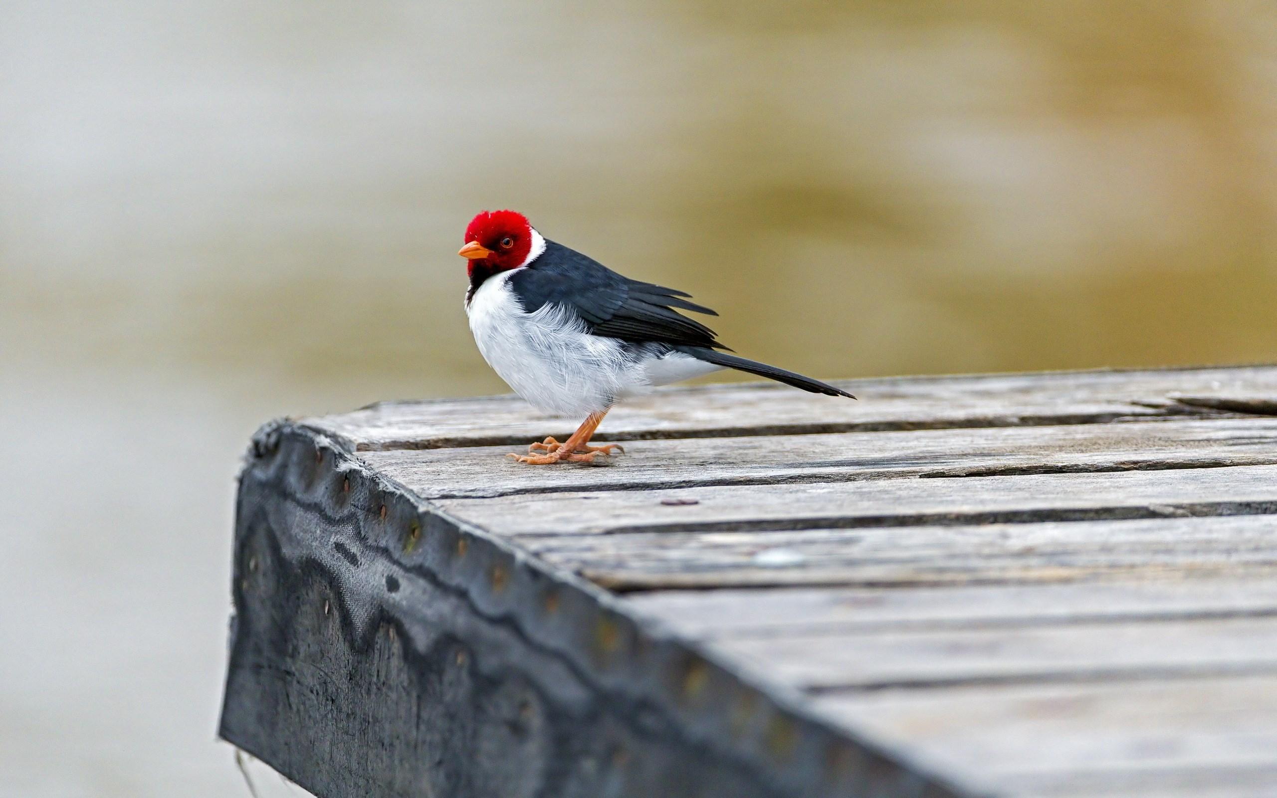 Red-capped Cardinal Bird