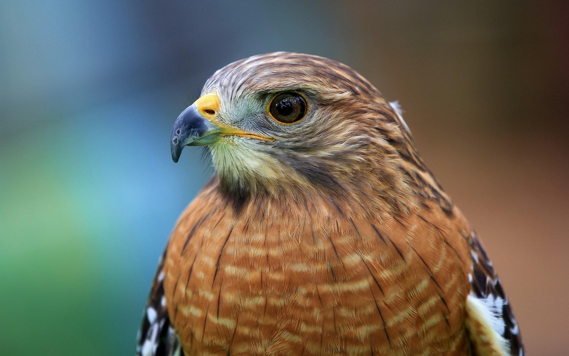 Red-shouldered Hawk Bird