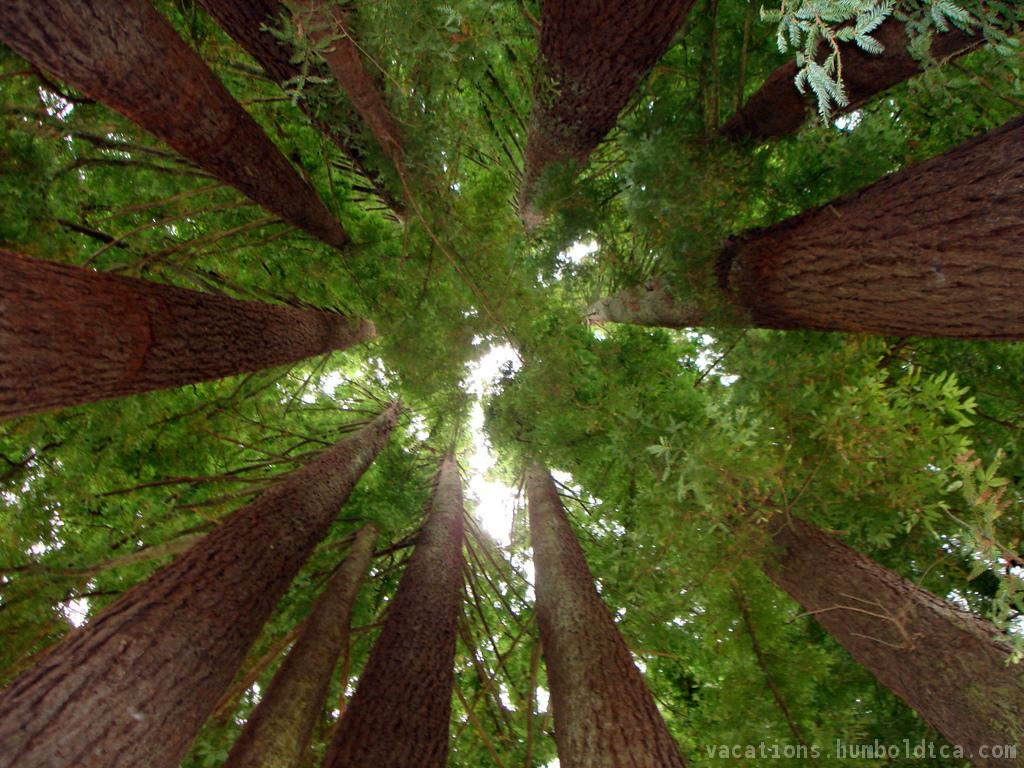 Redwood Forest Wallpaper 30 Desktop Background
