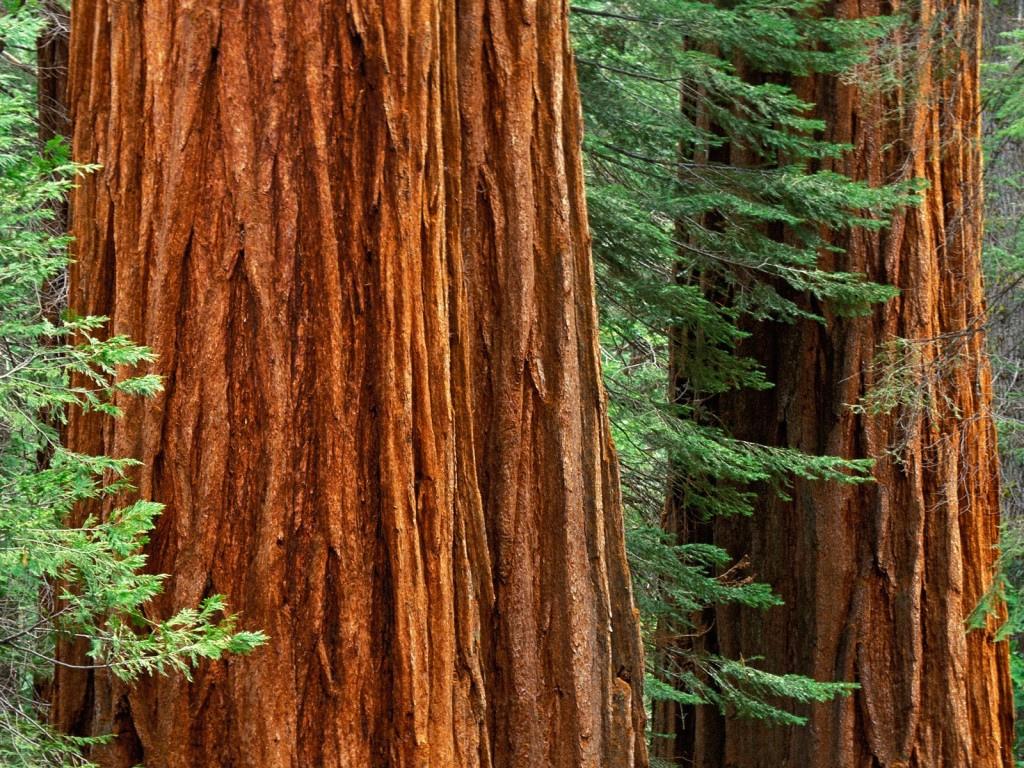 Sequoia, Redwood: Giant Sequoia trees, Mariposa Grove, Yosemite National park, California