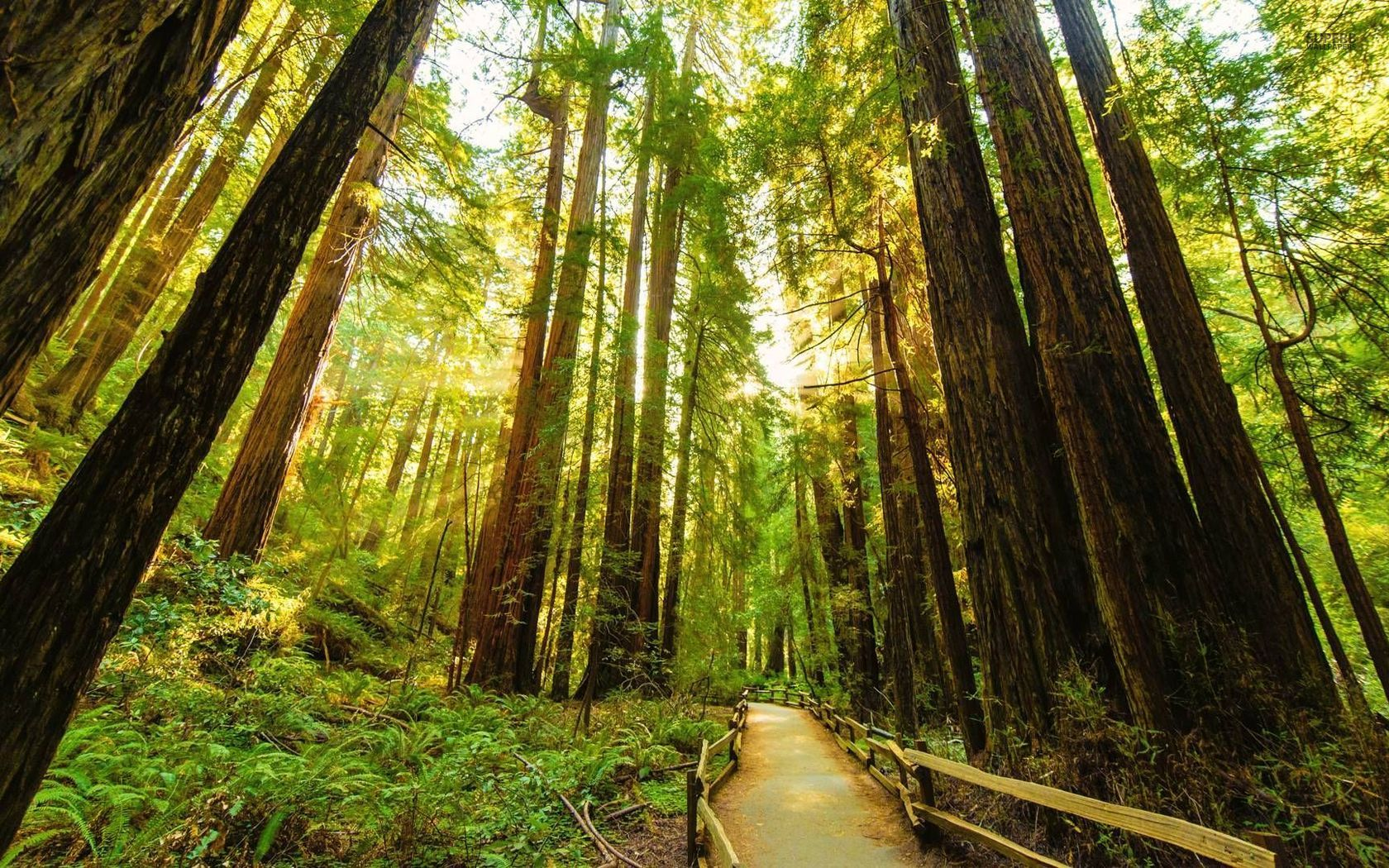 Redwood Forest Wallpaper 10 Desktop Back