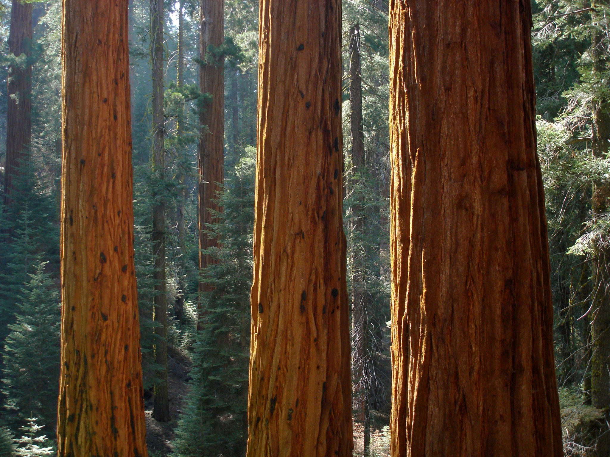 How to Grow Redwoods