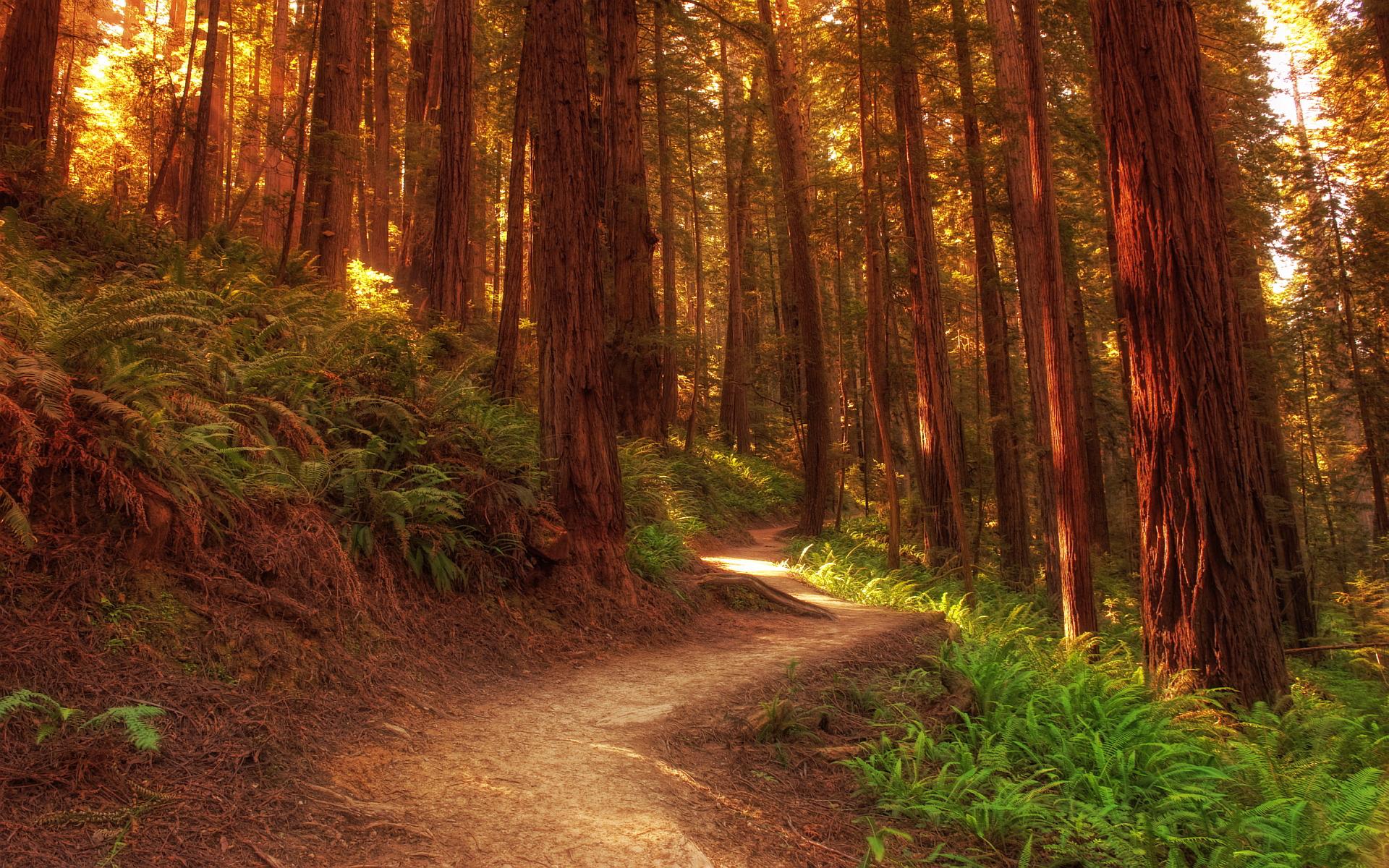 Redwood trees footpath