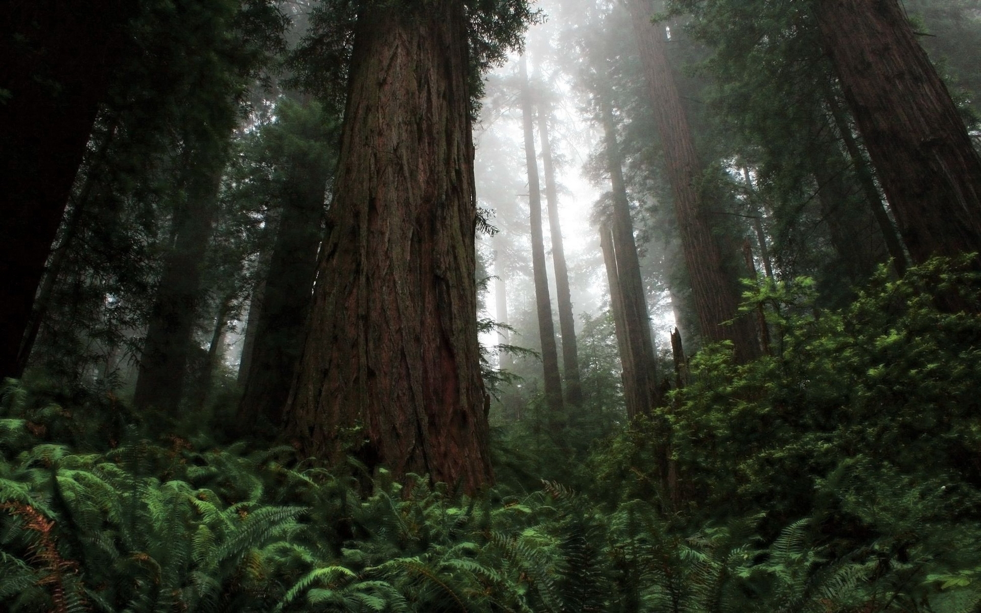 California Redwoods Hd Widescreen Desktop Wallpaper 1920x1200px