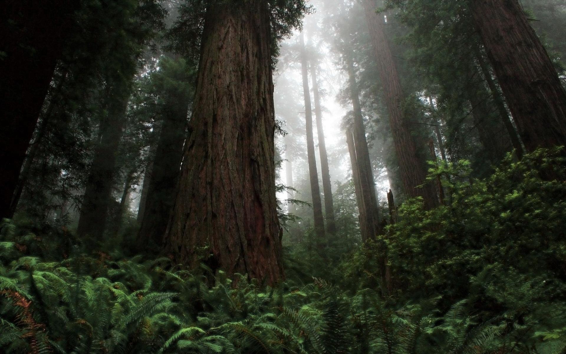 Redwoods HD