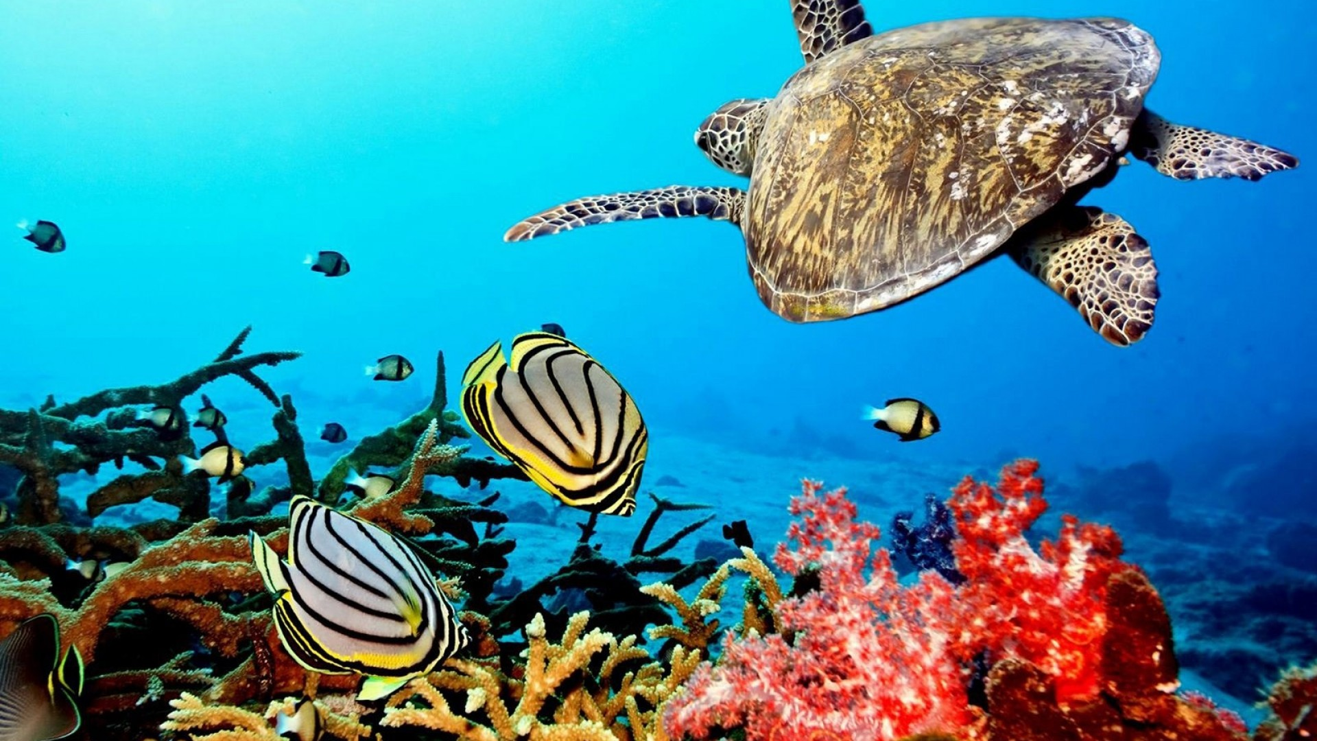 Wallpapers for Gt Coral Reef Wallpaper Xpx Corals Hd