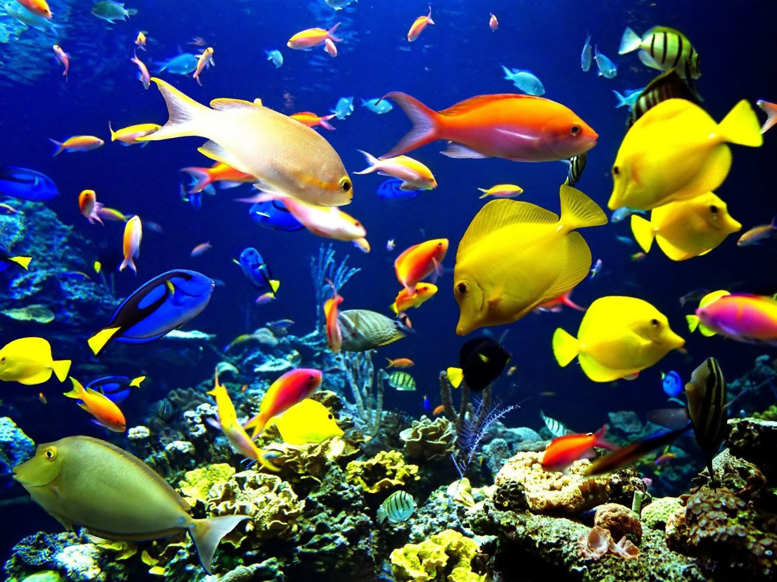 Category Animal Coral Reef Life Fish Desktop Wallpaper