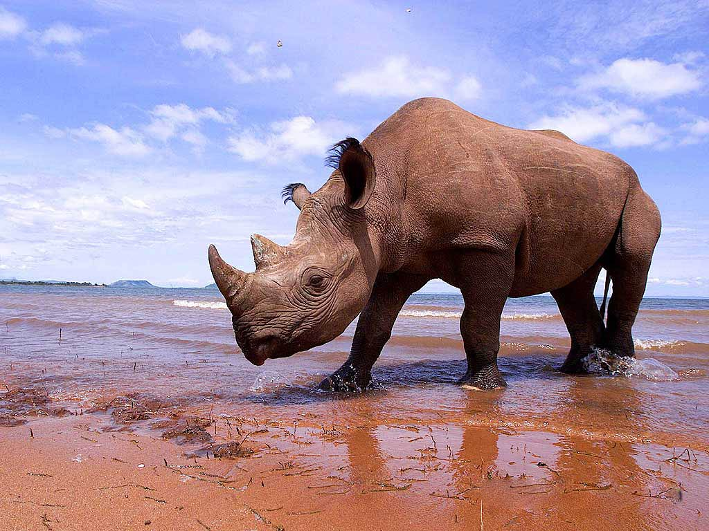 free Rhinoceros wallpaper wallpapers download