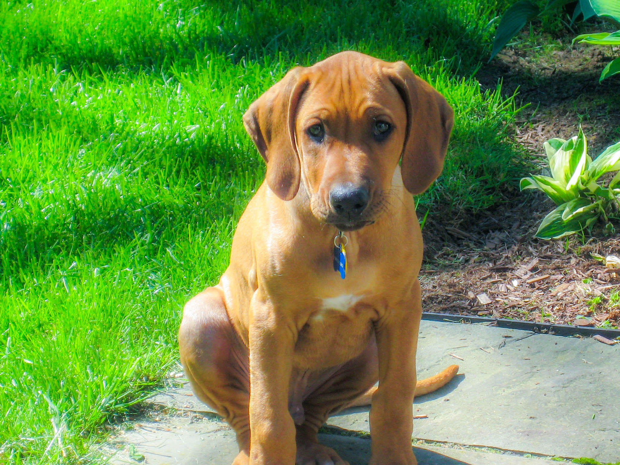 Rhodesian Ridgeback, Rhodesian Ridgeback puppy, Rhodesian Ridgeback photo, dog adventure, dog blog