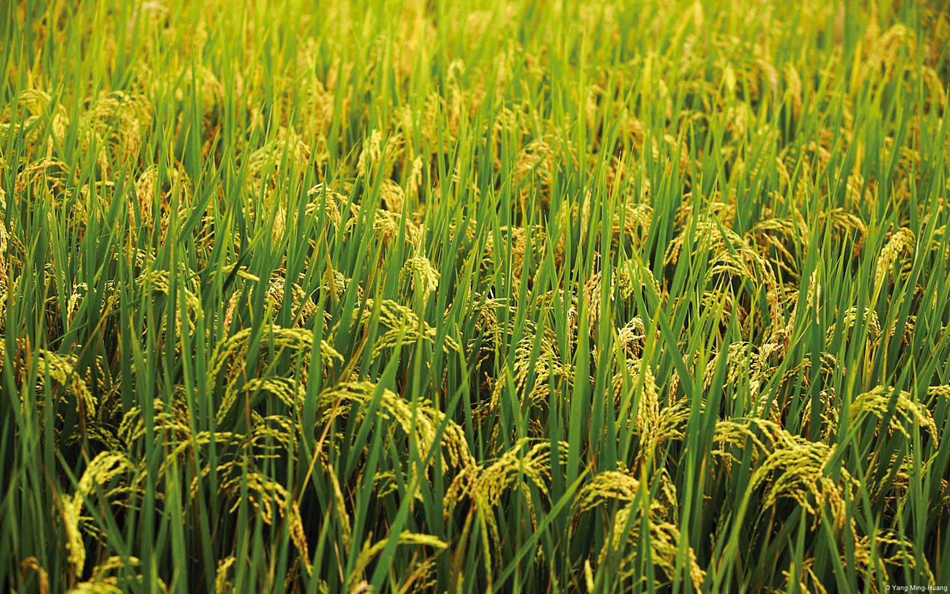 Like most other plants, rice is well equipped with an effective immune system that enables it to detect and fend off disease-causing microbes.