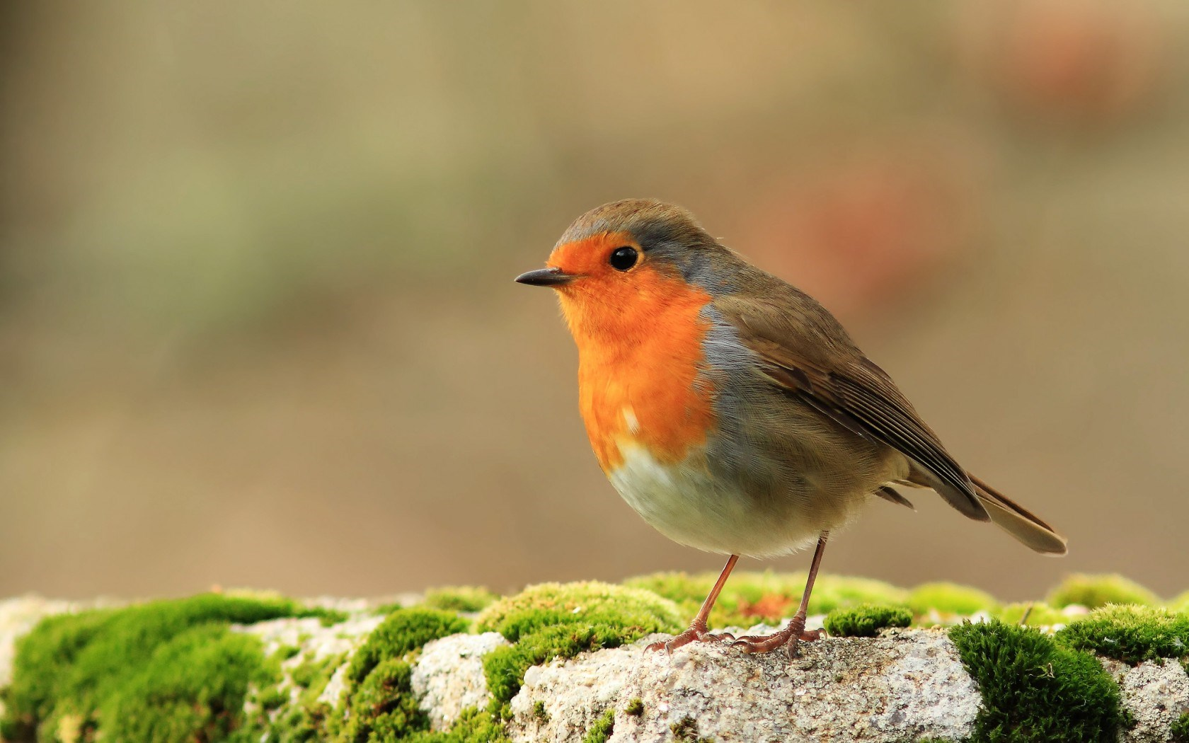 Robin Bird Wallpaper HD 43163 1680x1050 px