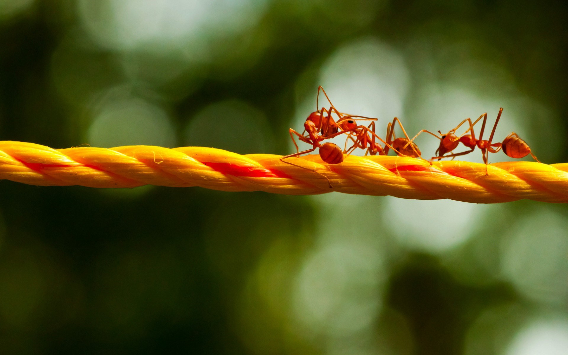Close Up Rope Red Ants HD Wallpaper