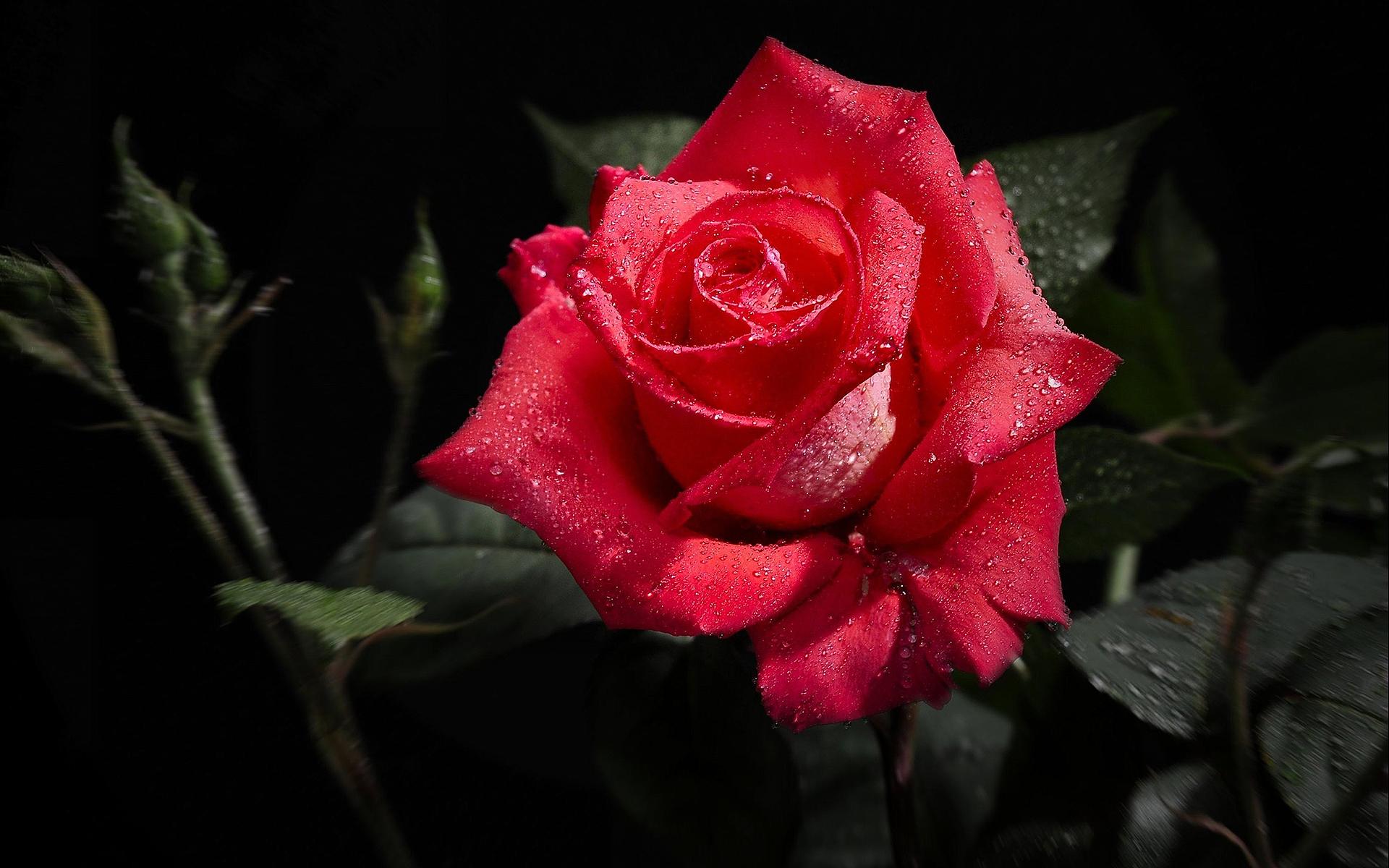 Wet red rose
