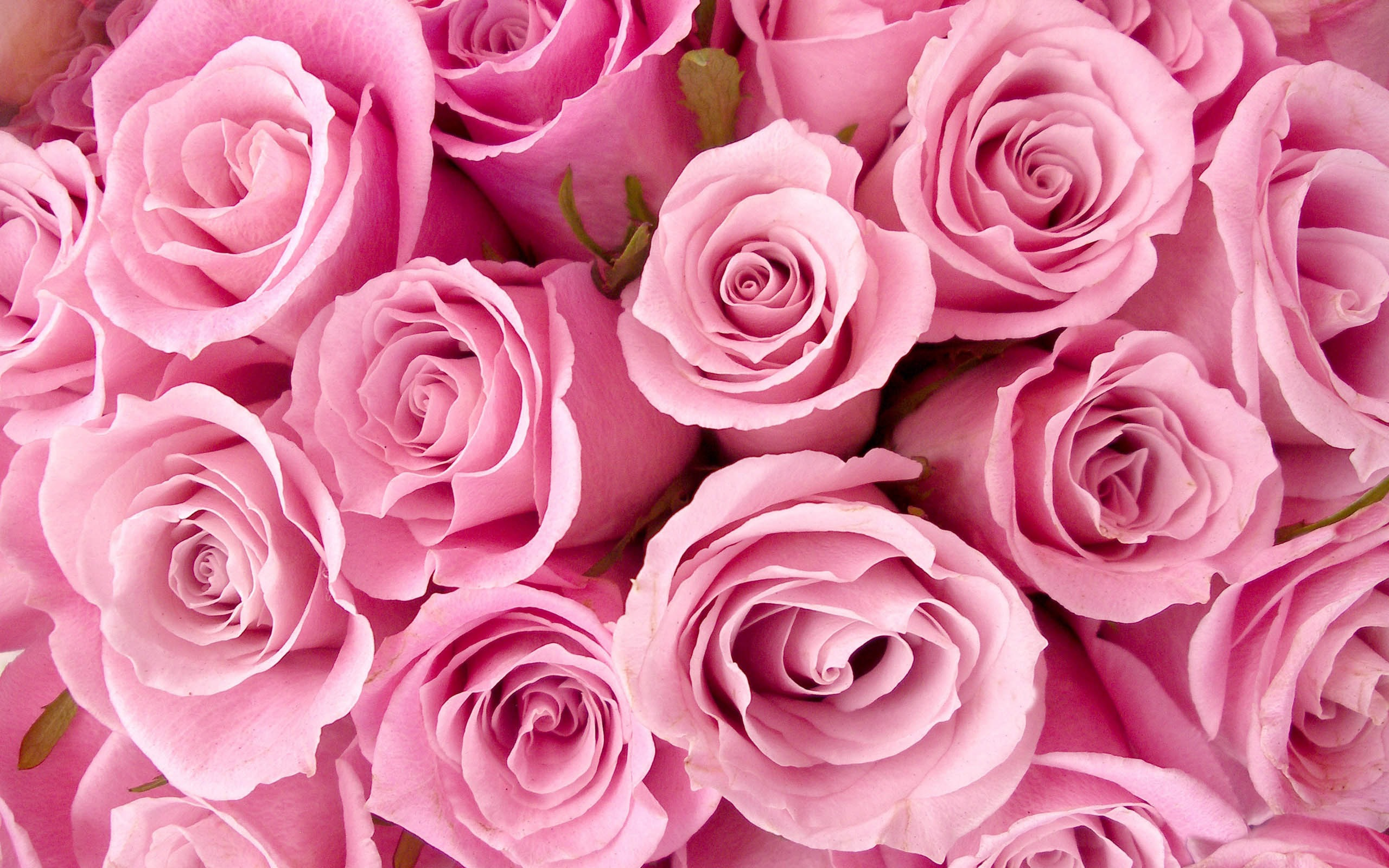 Rose Flower Tumblr Wallpaper 2560x1600 23523