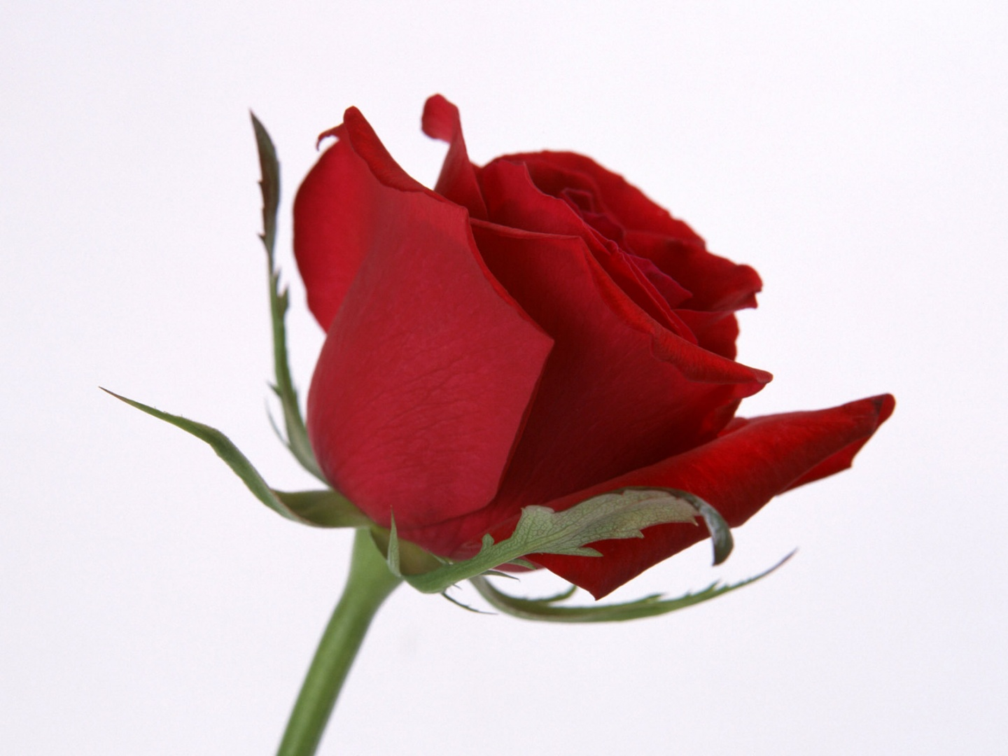 Rose Flower Download High Quality 7