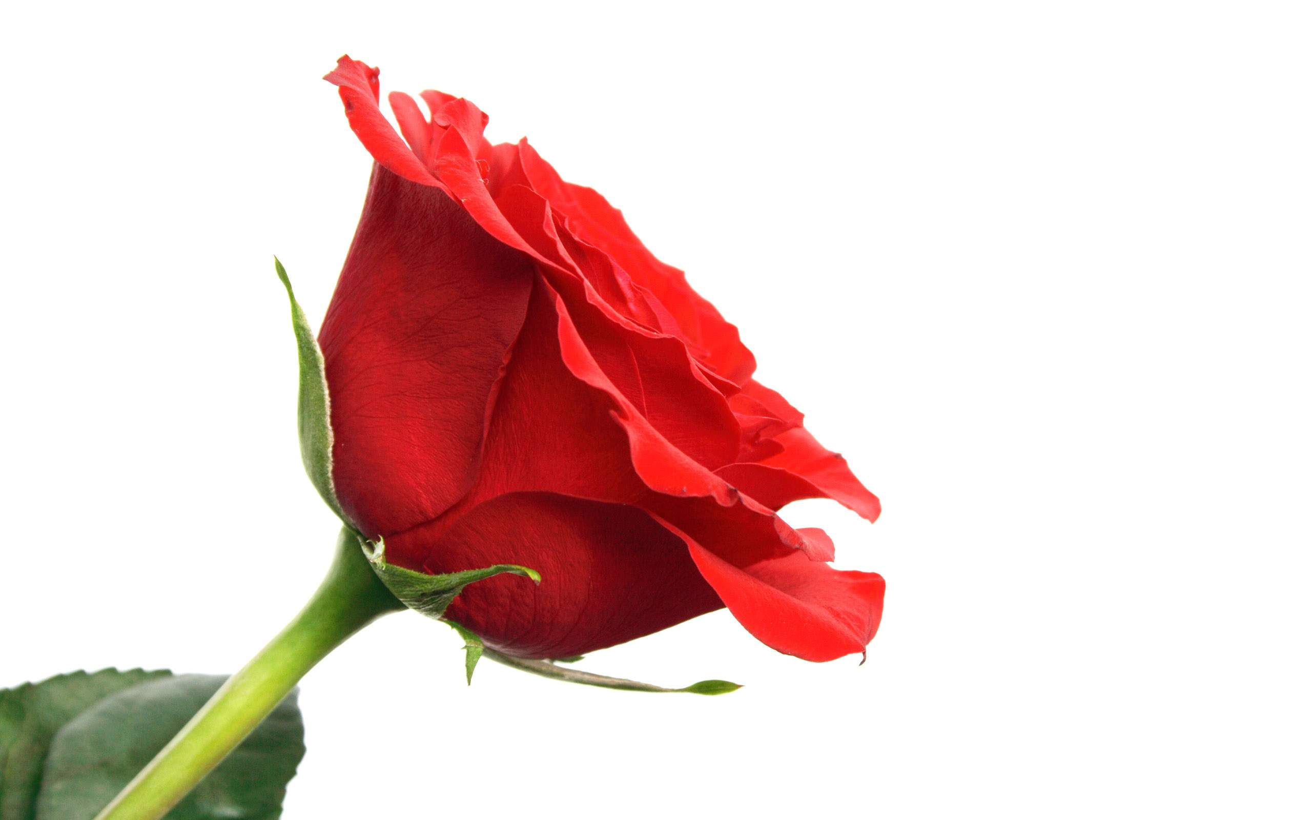 Red Rose Flower Images 13 HD Wallpapers