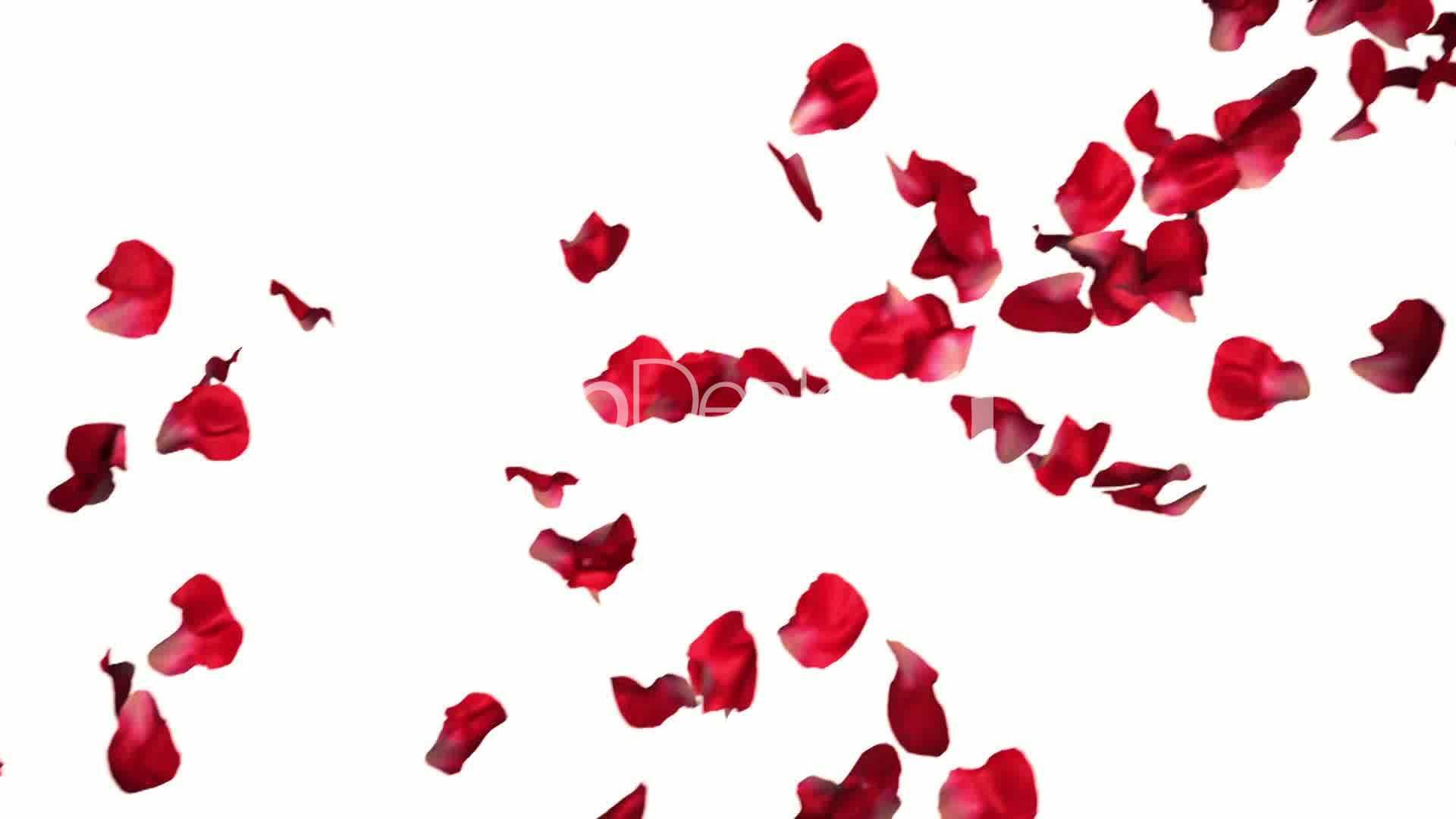 Rose petals; Rose petals