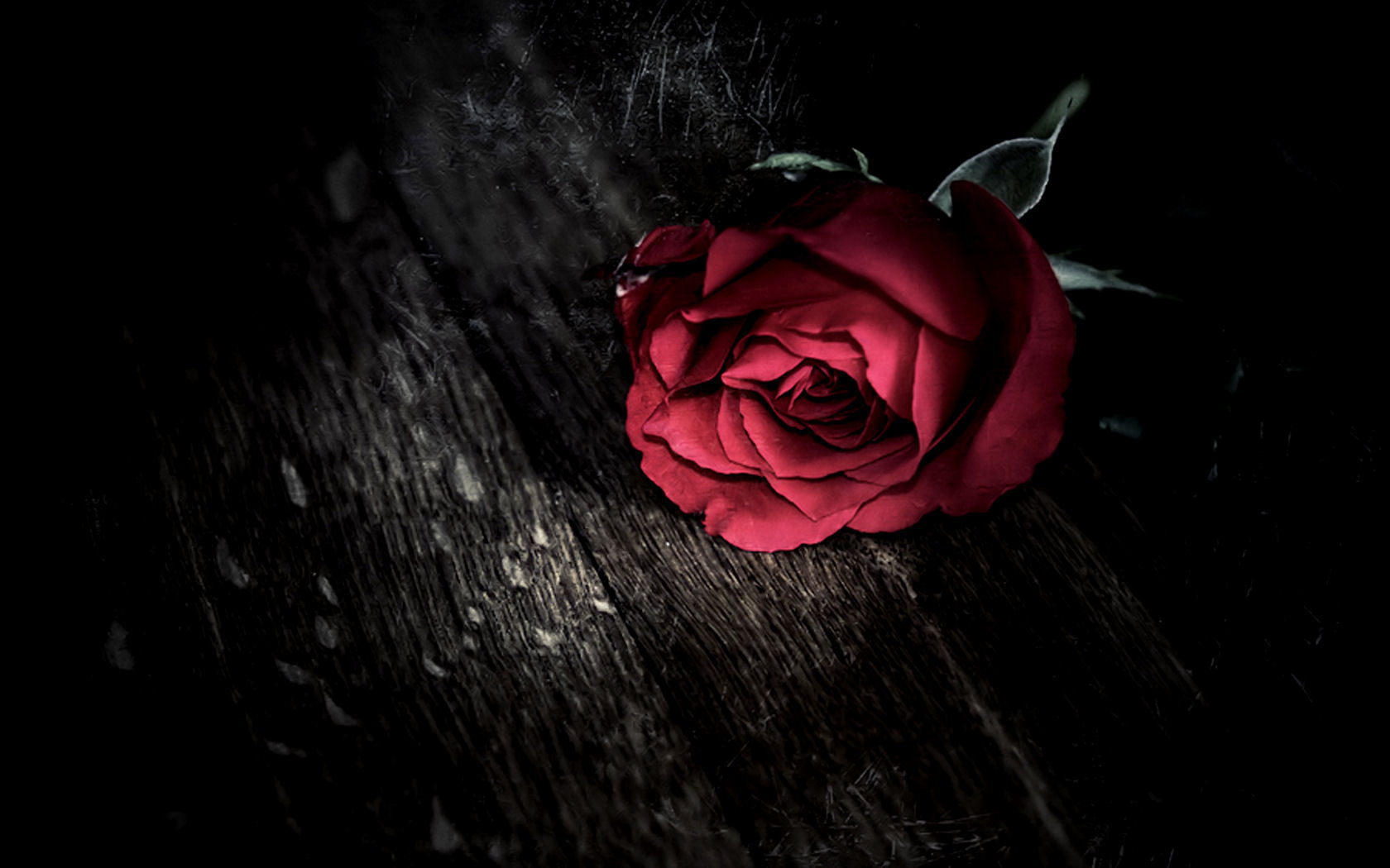 ... Rose Wallpaper ...