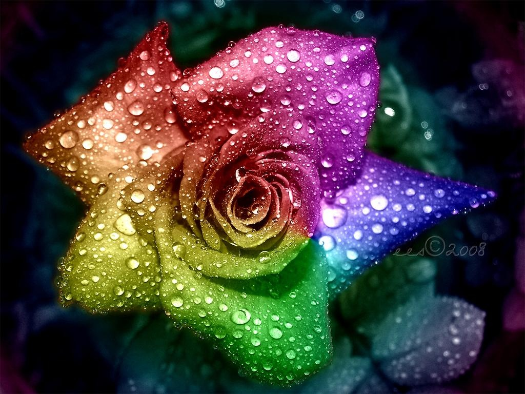 ... rainbow_rose_wallpaper-1024x768 Rose wallpaper ...