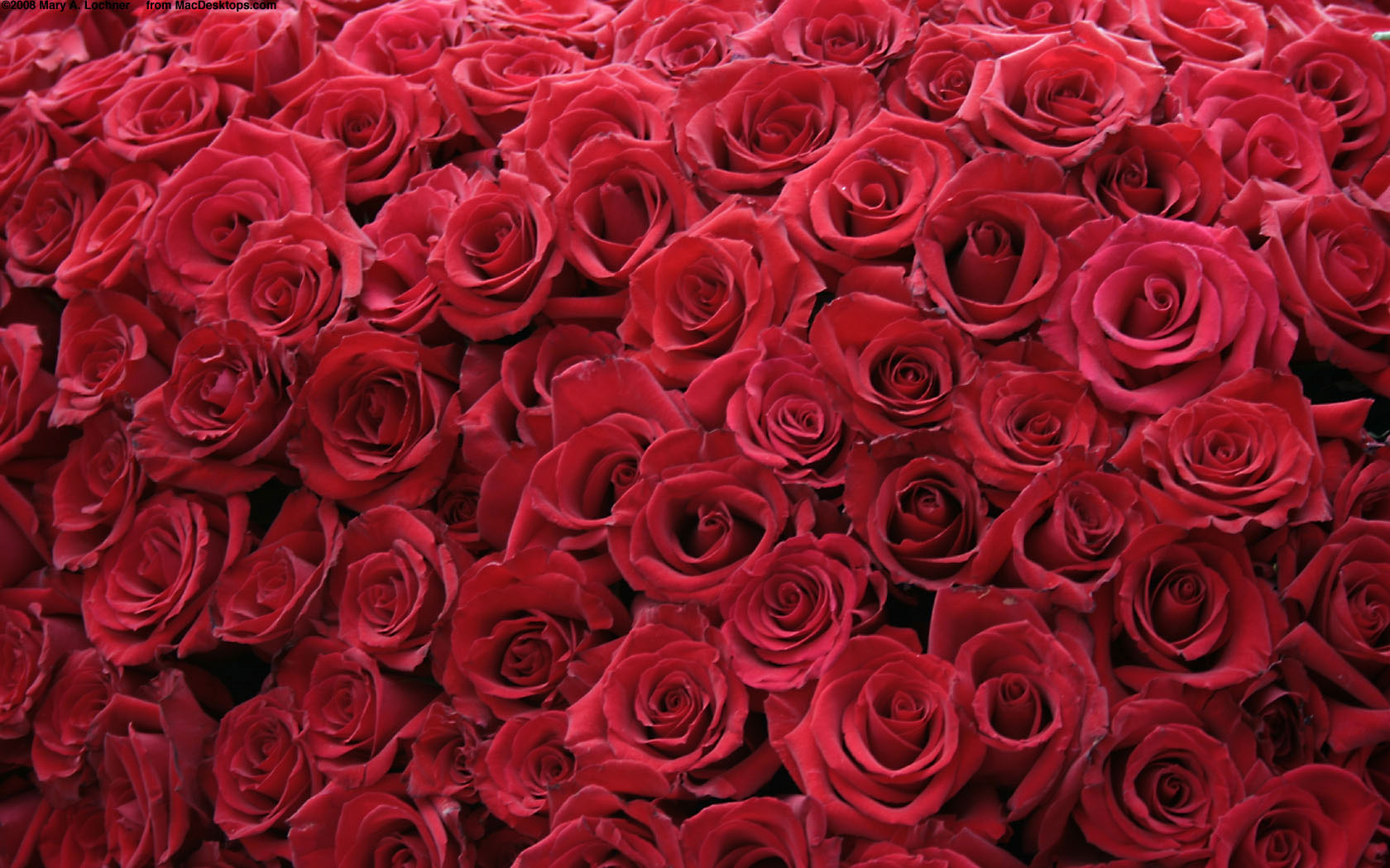 red rose wallpaper 03