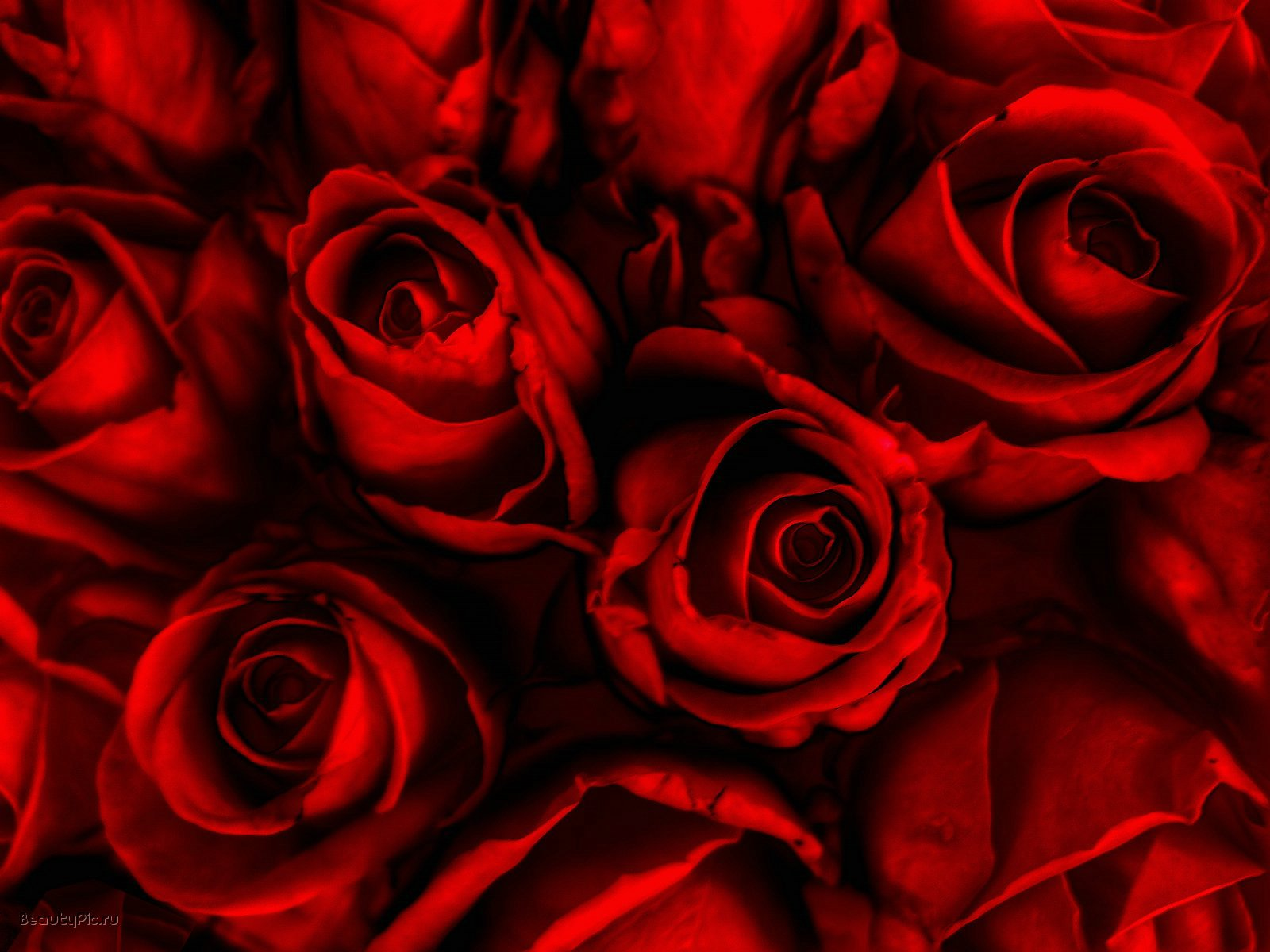 Dark Red Rose Wallpaper
