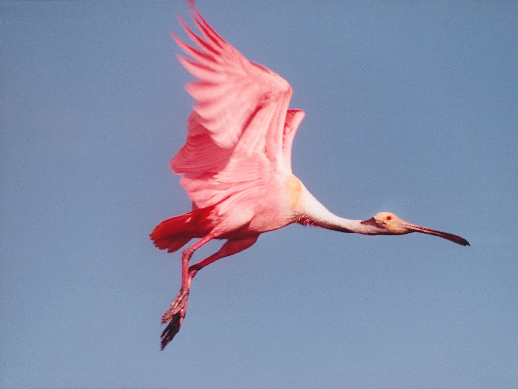 The Roseate Spoonbill, Platalea ajaja, (sometimes placed in its own genus Ajaja) is a gregarious wading bird of the ibis and spoonbill family, ...
