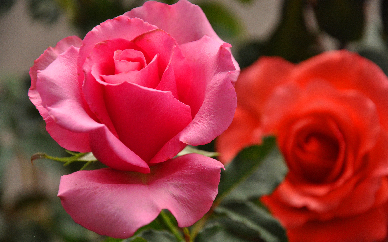 Roses capture