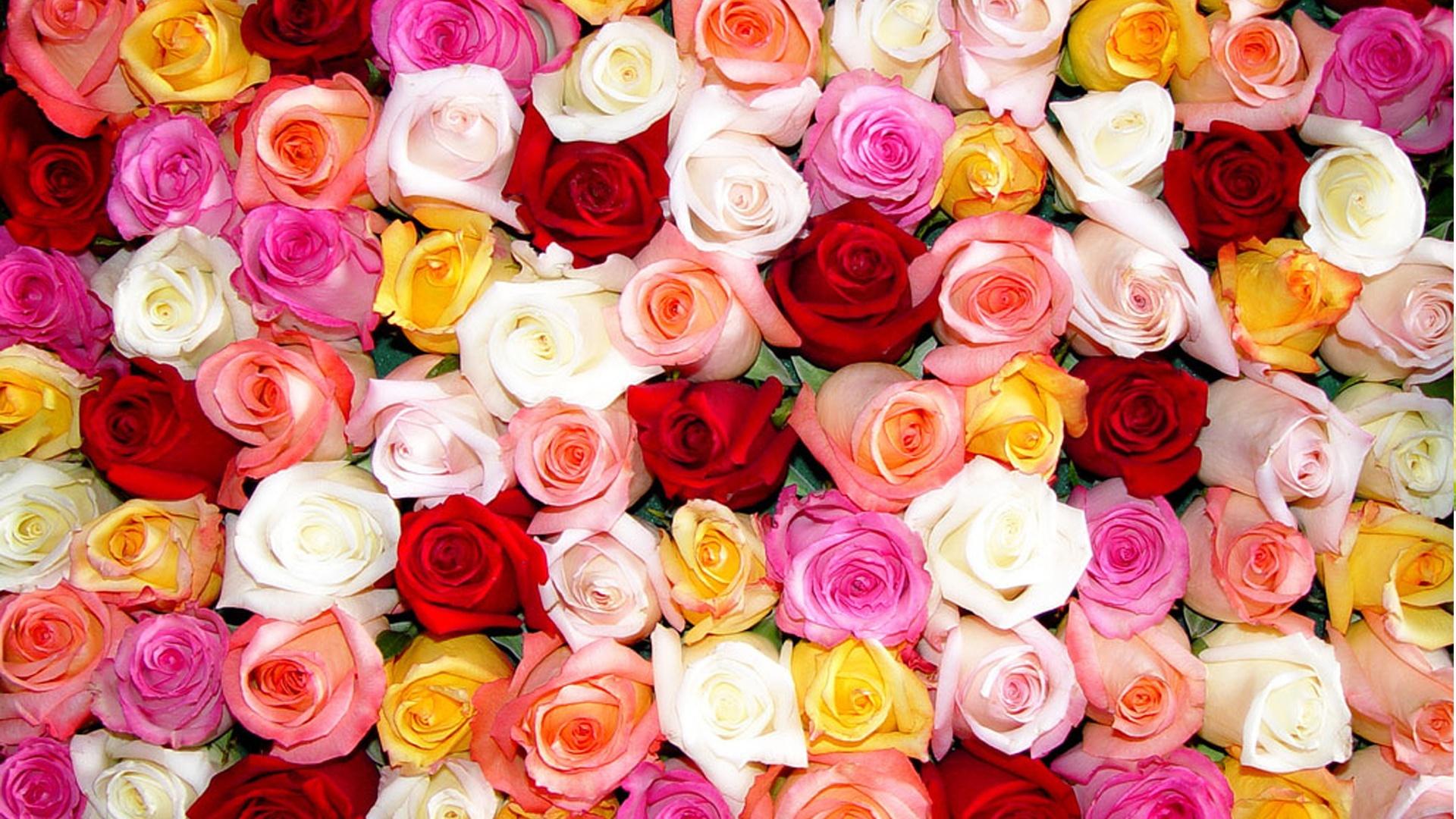 ... Roses Wallpaper 7 ...