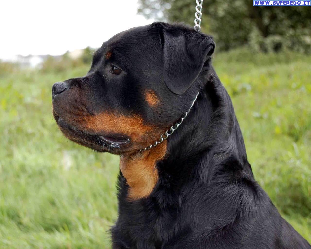Rottweiler Hd 1080P 12 Thumb