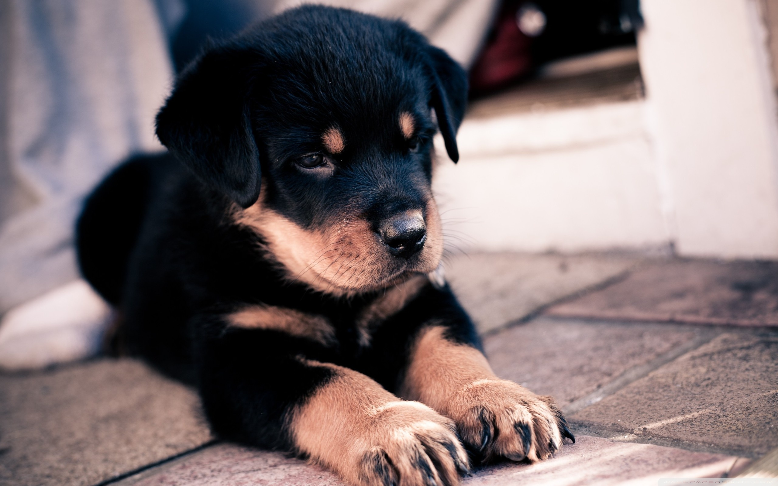 Rottweiler Puppies Wallpaper