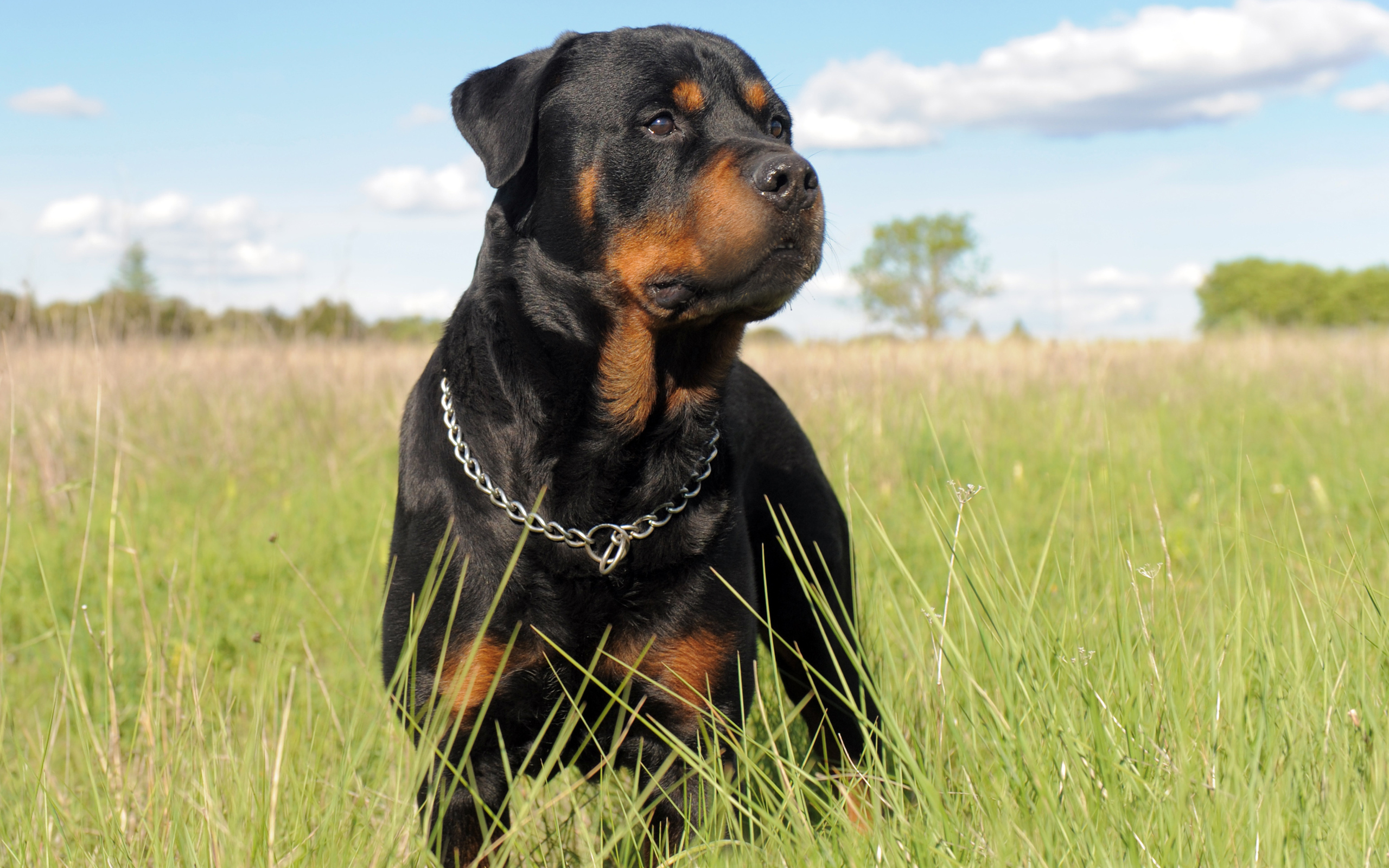 HD Wallpaper | Background ID:354419. 2560x1600 Animal Rottweiler
