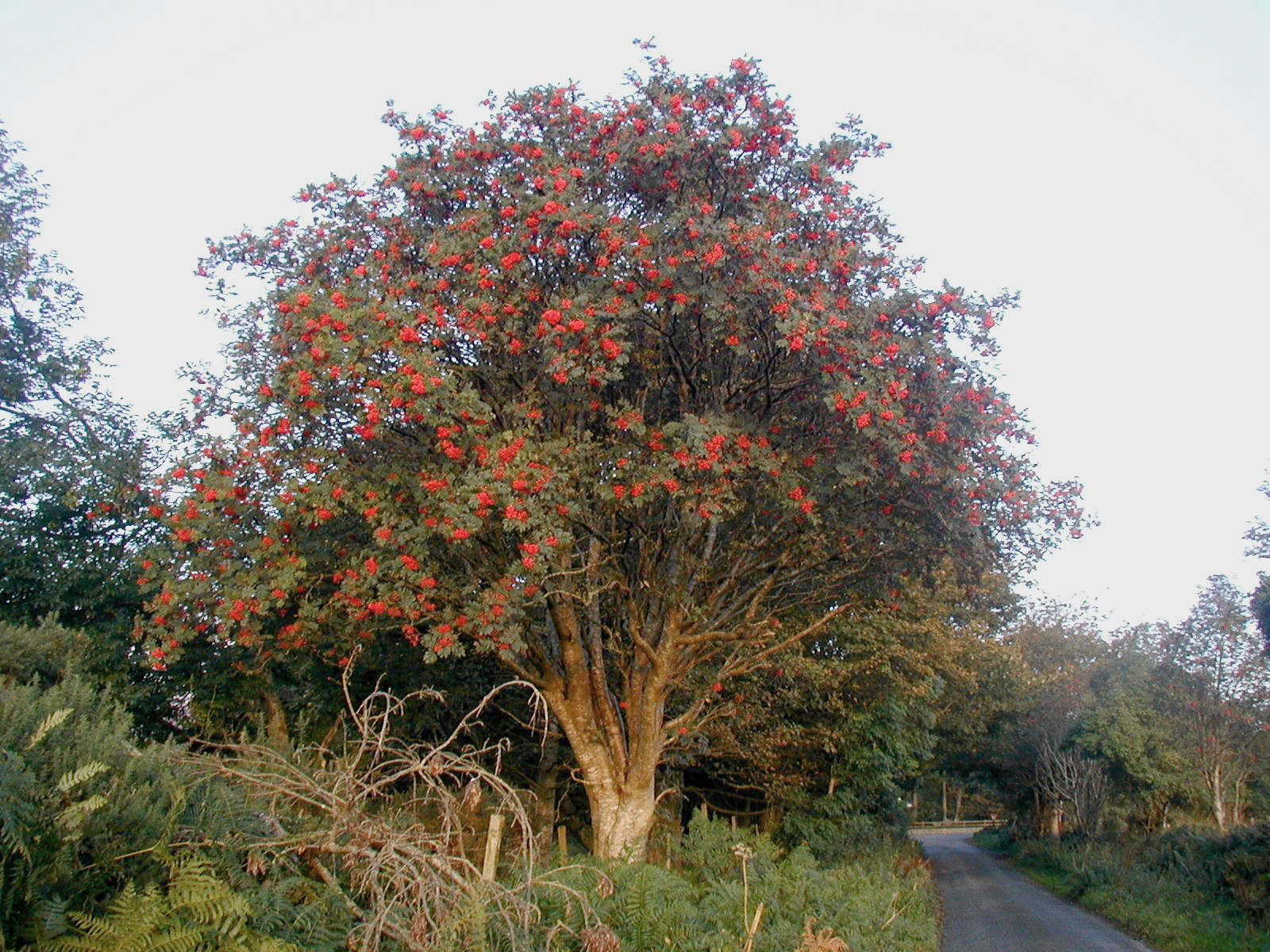Mature European Rowan tree