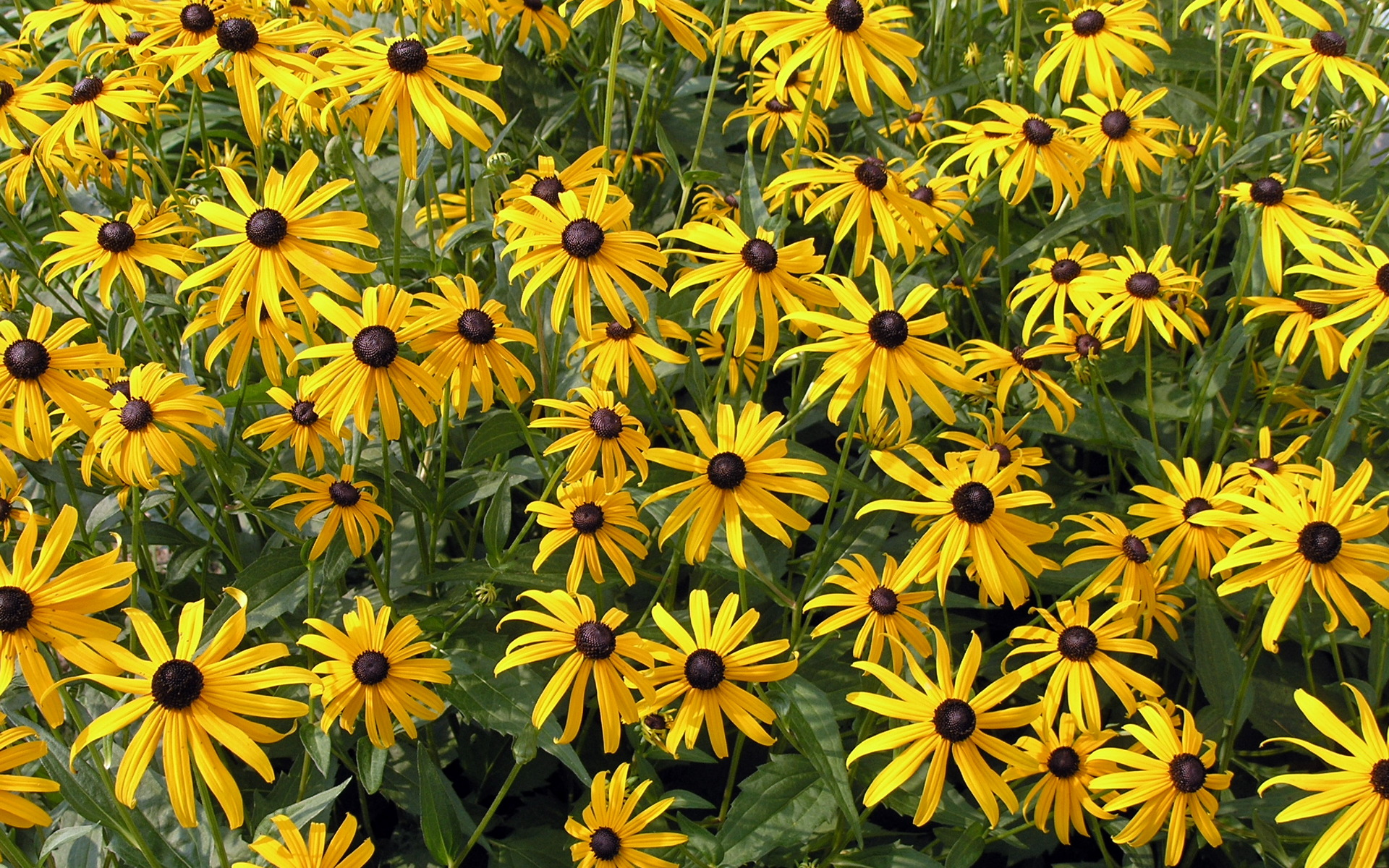 Free Rudbeckia Flowers Wallpaper