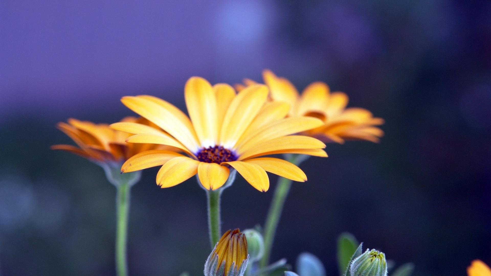 Rudbeckia Flowers HD
