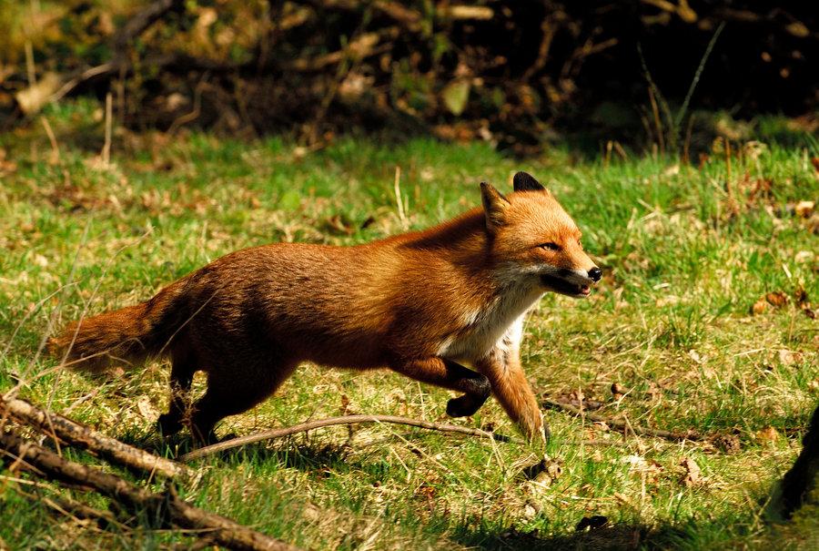 Running Fox #2