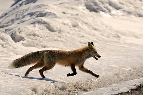 Running Fox #3