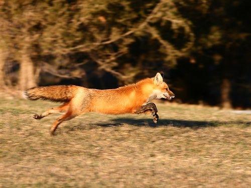 Running Fox #4