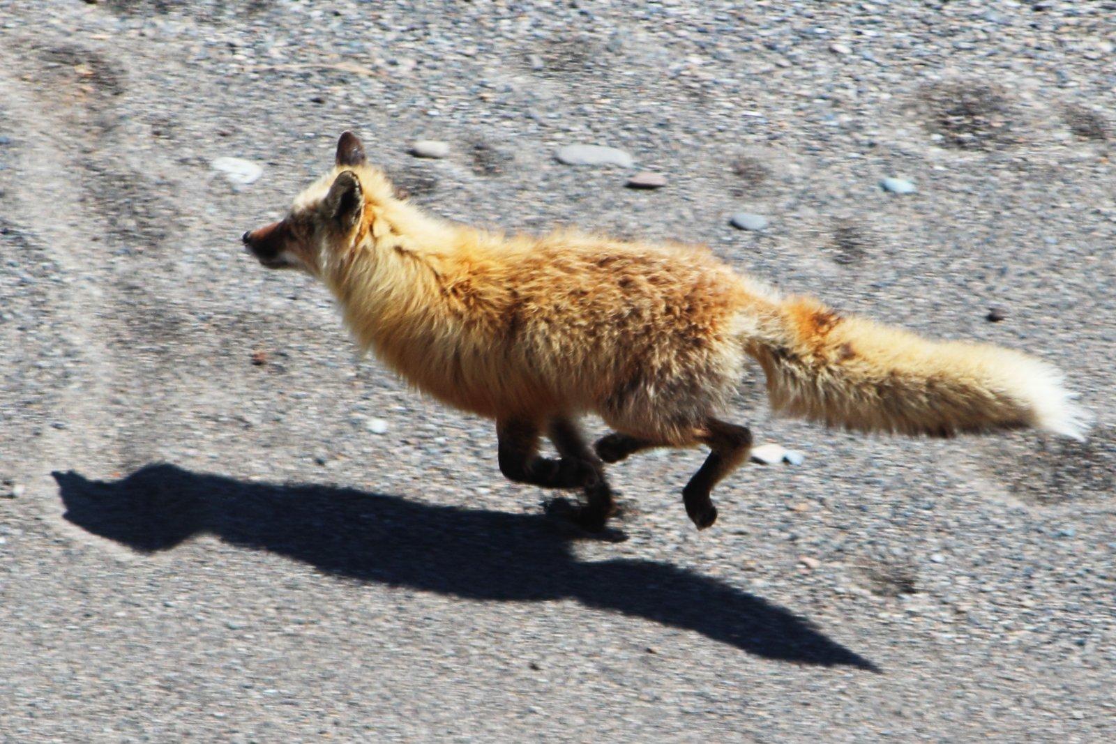 Running Fox #5