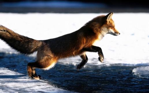 Running Fox #7