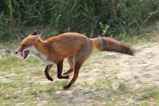 Running Fox #8