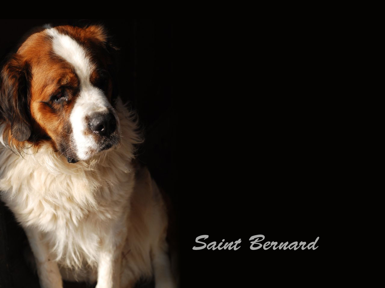 Saint Bernards Wallpaper