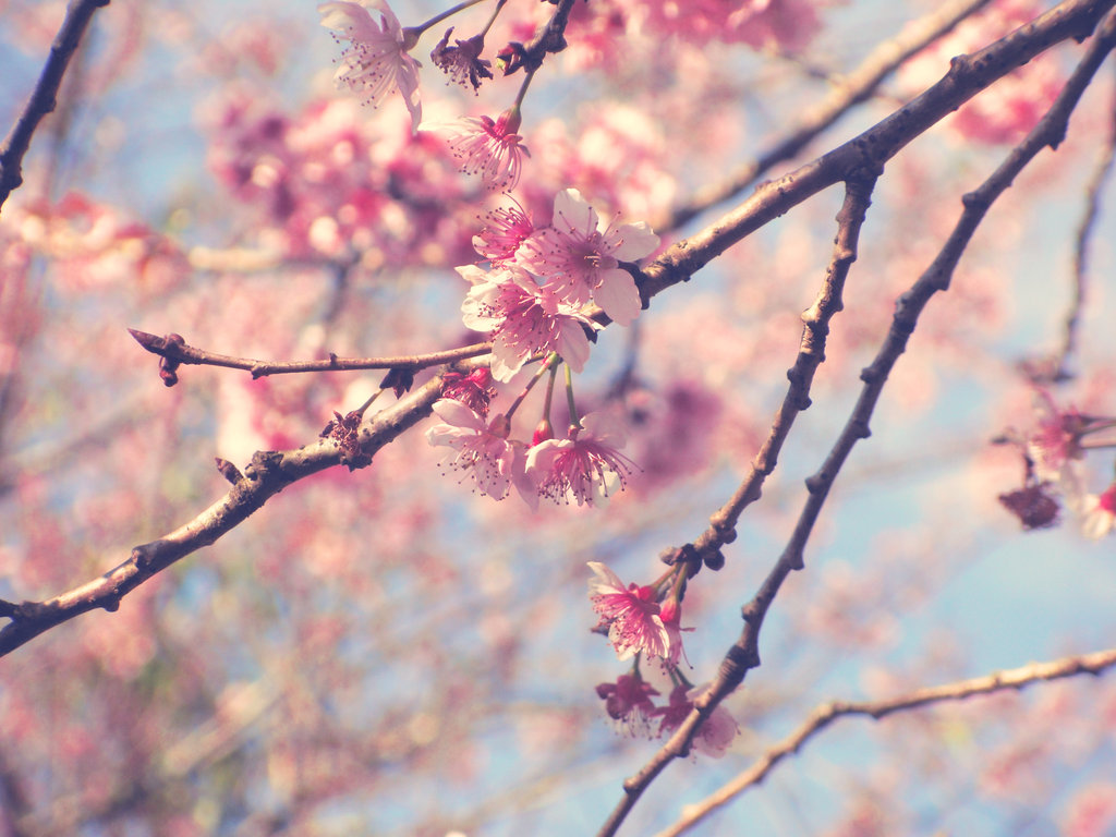Another Sakura Flower by satoo-yuki ...