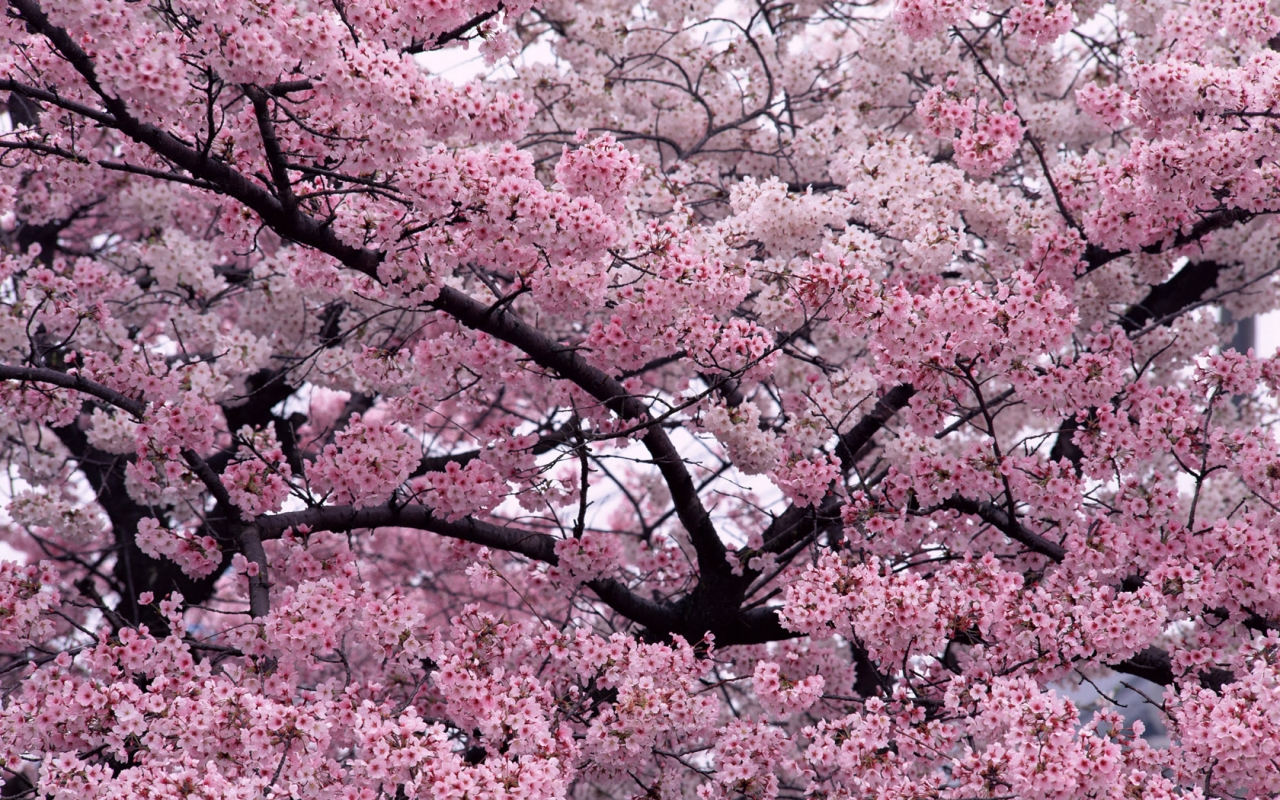 Sakura Flower Wallpaper With 1280×800 Resolution