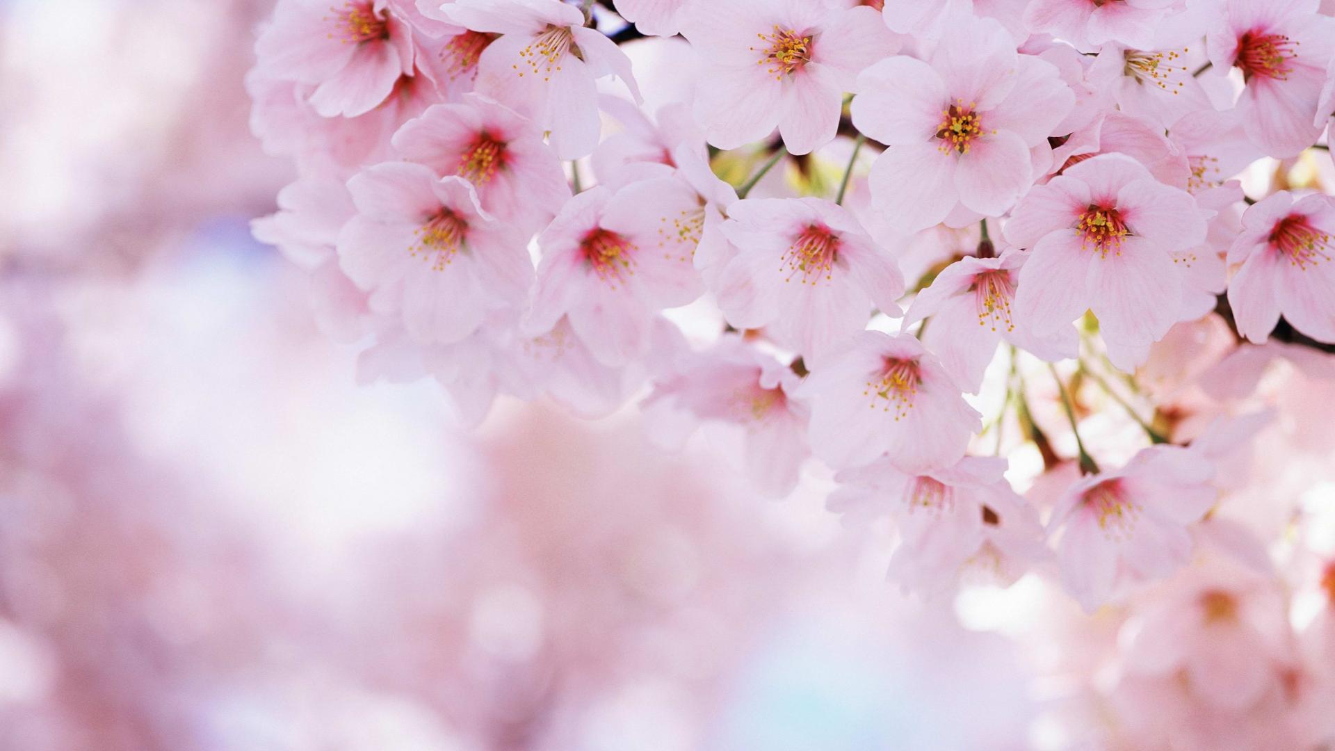 Sakura Flower Cherry Bloom Petals Spring Hi Wallpaper With 1920×1080