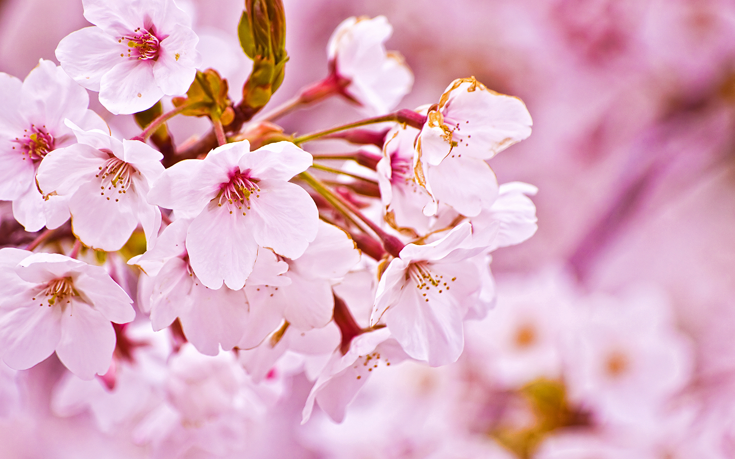 Sakura Flower Wallpaper