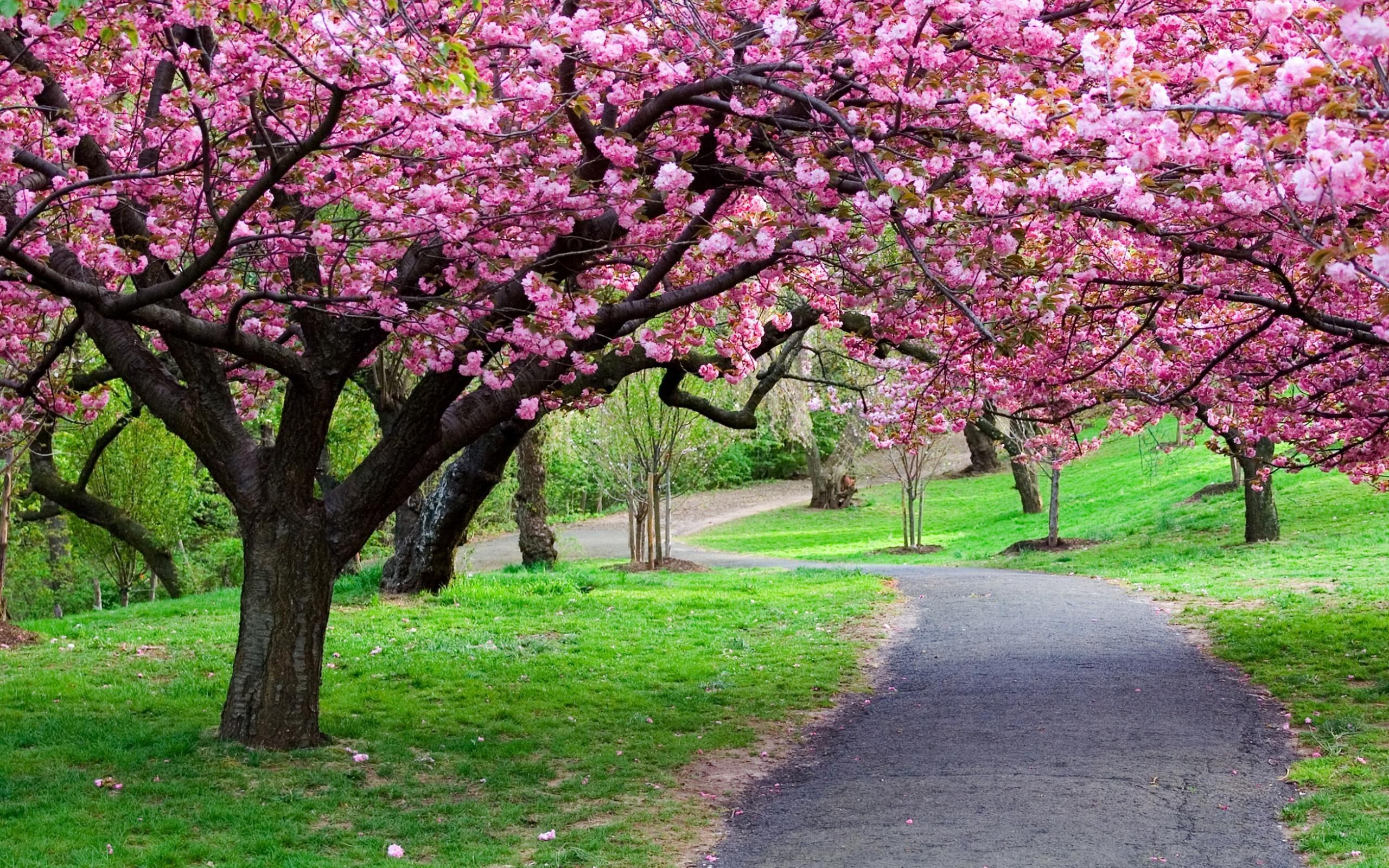 Sakura-Flowers-Free-Hd-Wallpapers.jpg