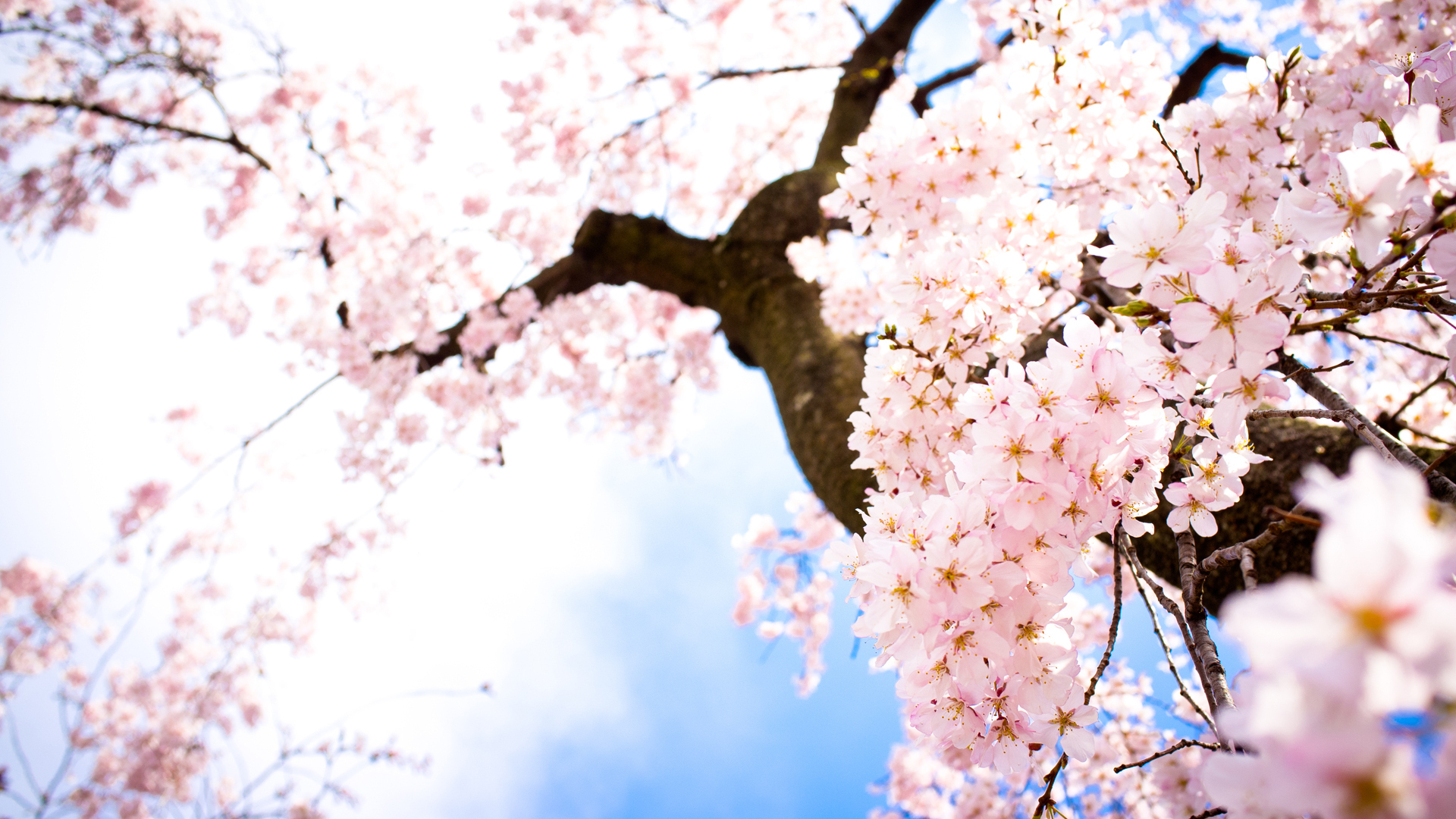 Sakura Flowers Wallpaper