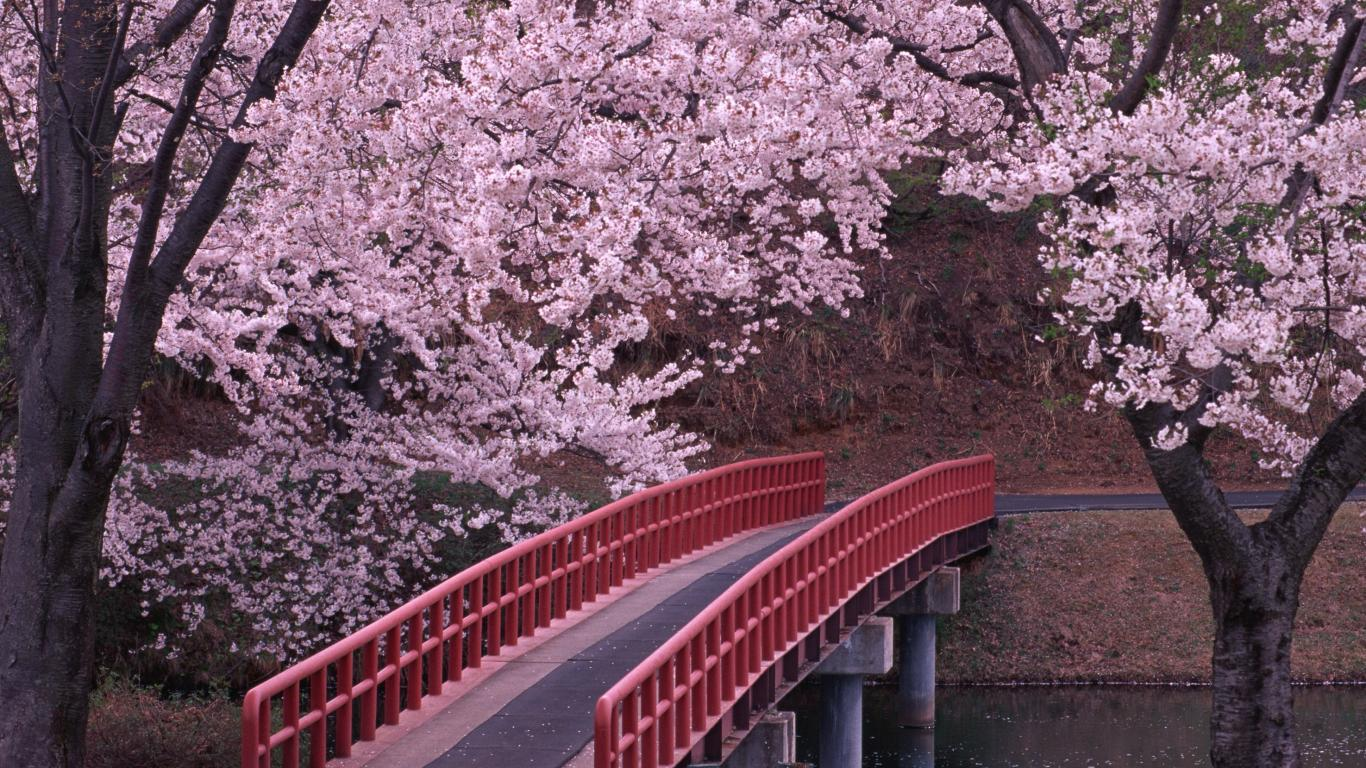 japan wallpaper sakura. ORIGINAL